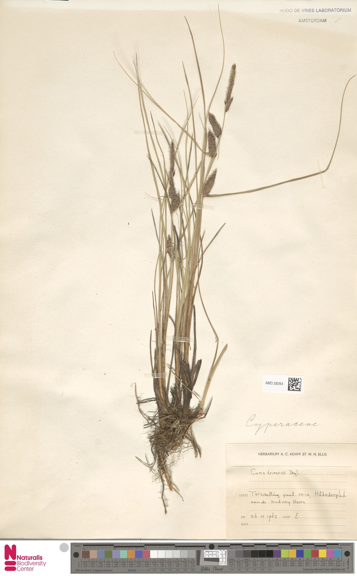 AMD.58264 | Carex trinervis Degl.