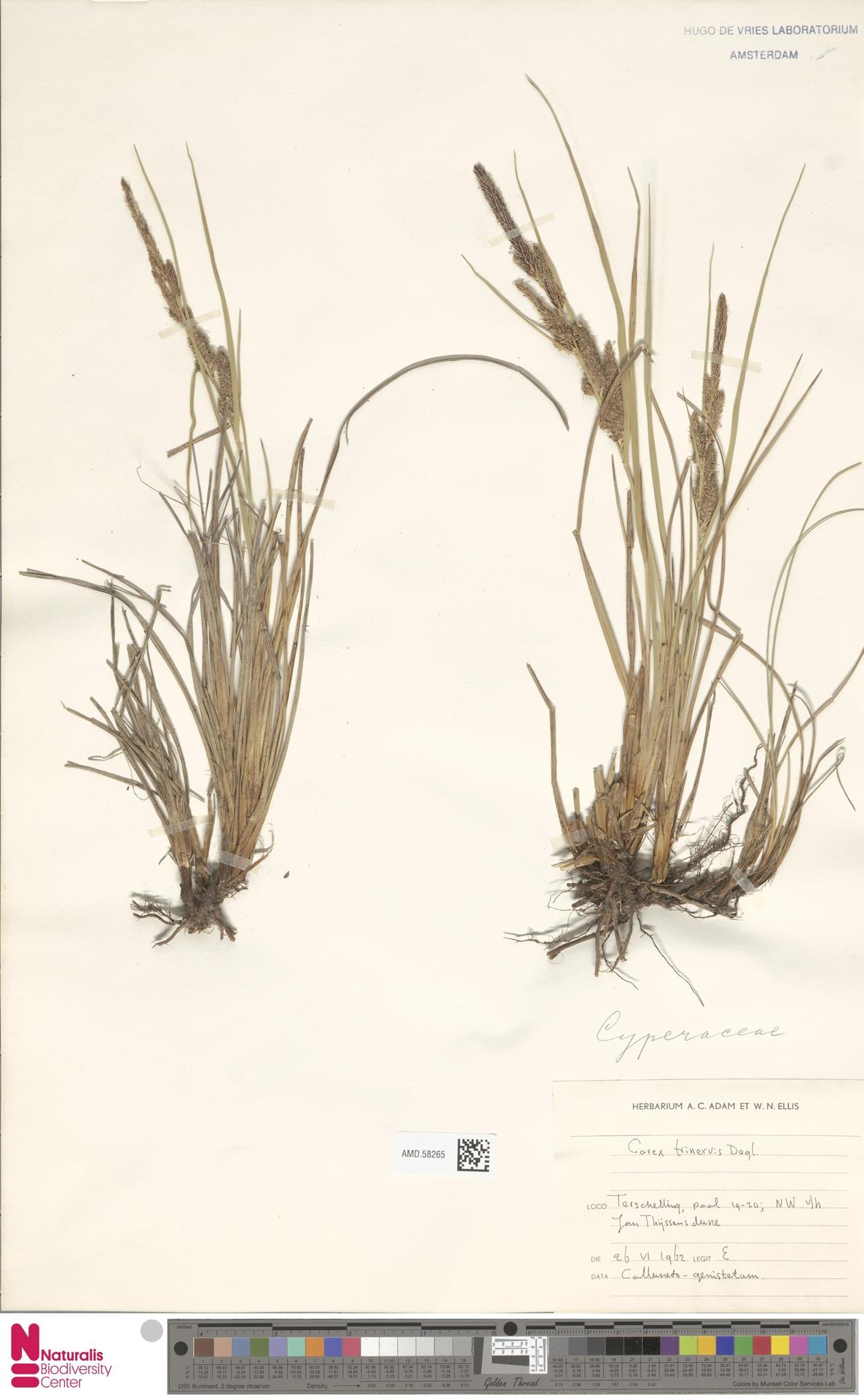 AMD.58265 | Carex trinervis Degl.