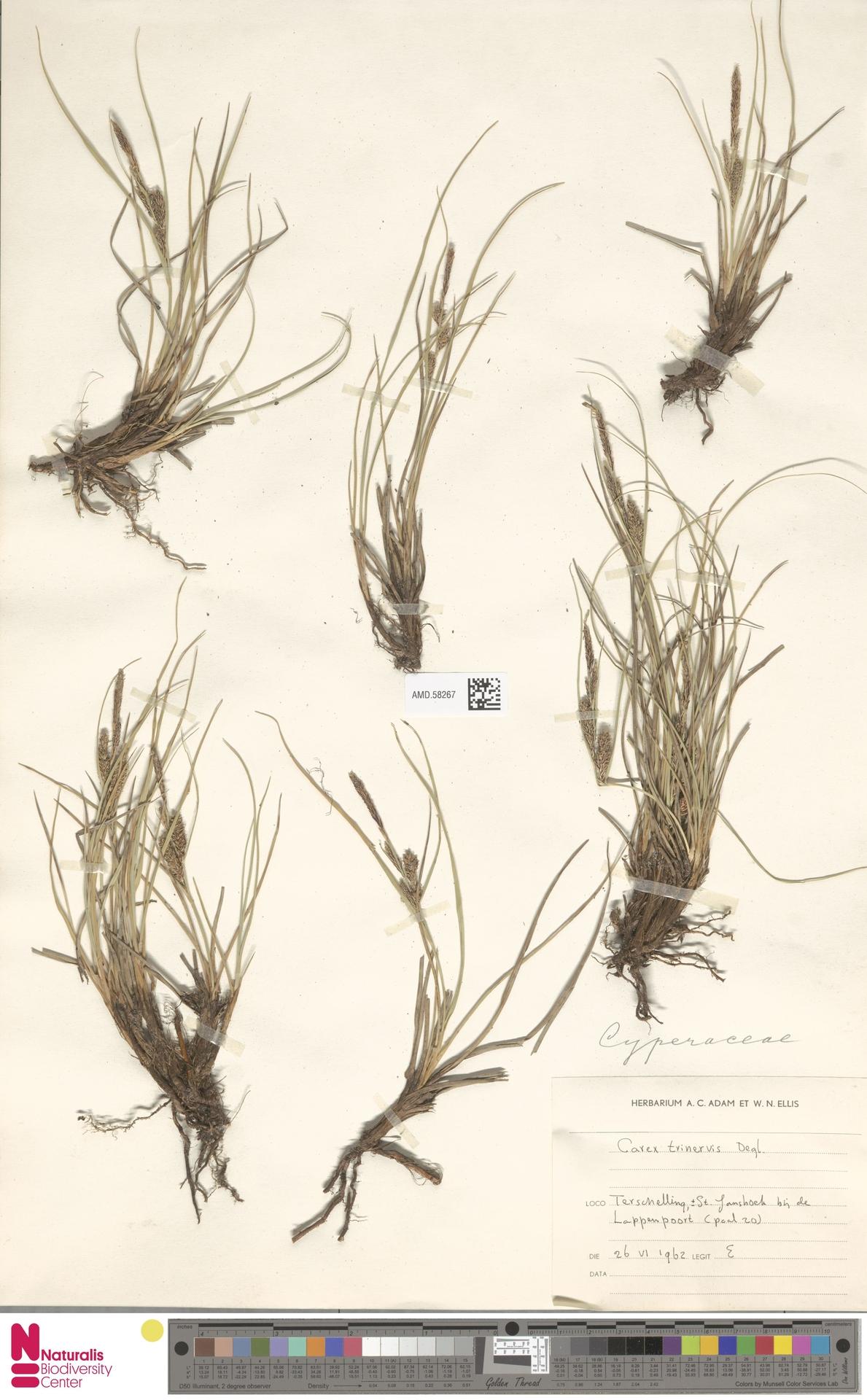 AMD.58267   Carex trinervis Degl.