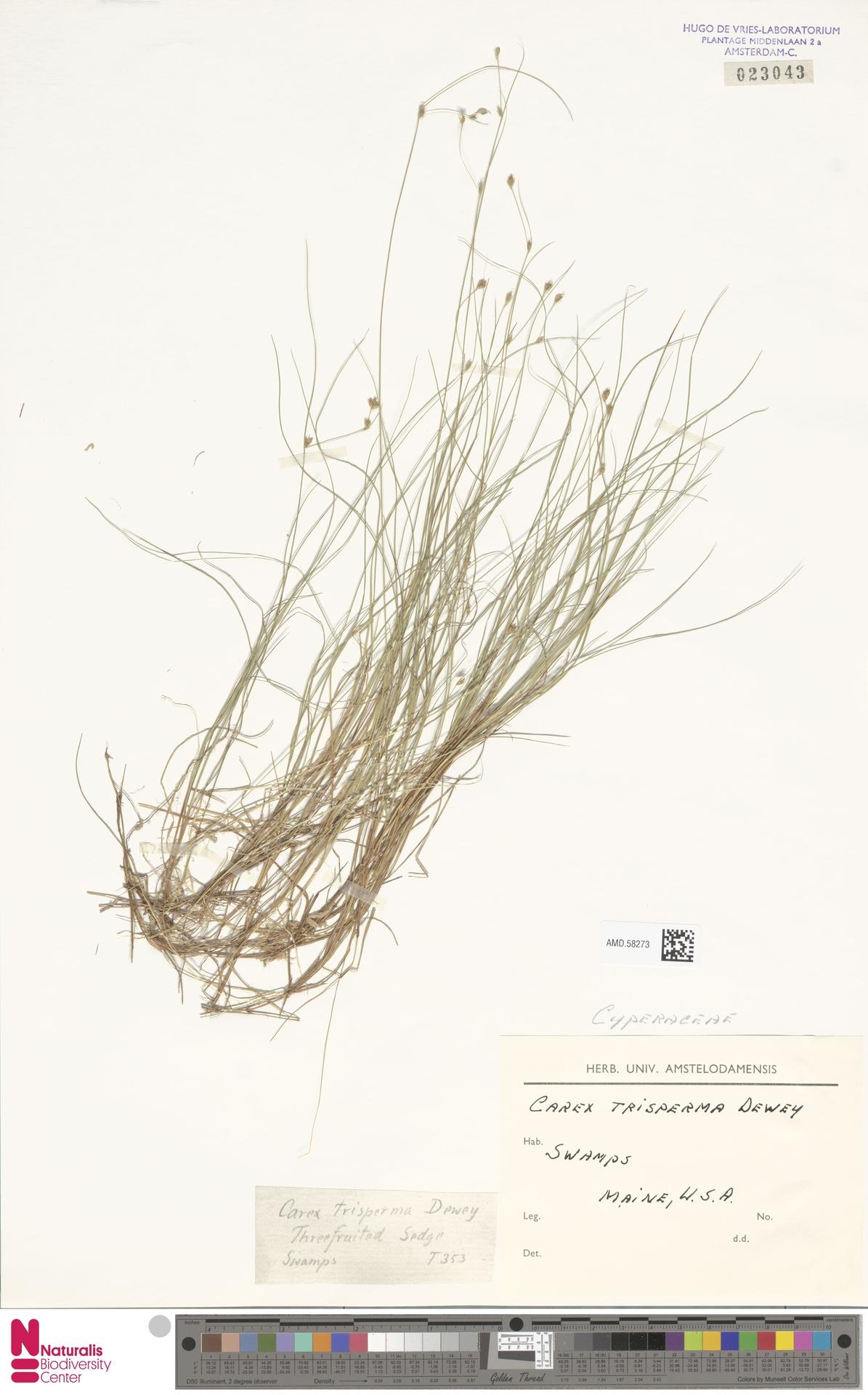AMD.58273   Carex trisperma Dewey