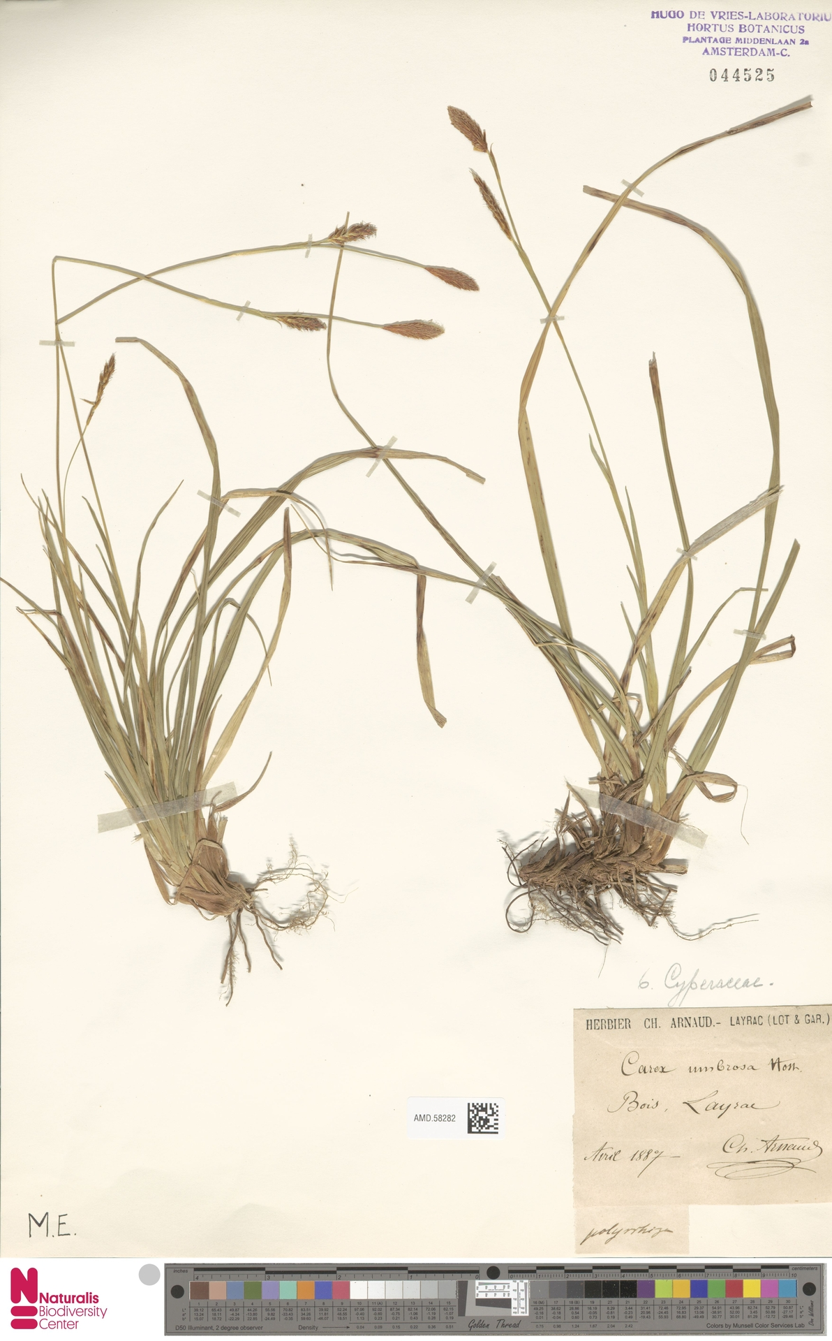 AMD.58282 | Carex umbrosa Host