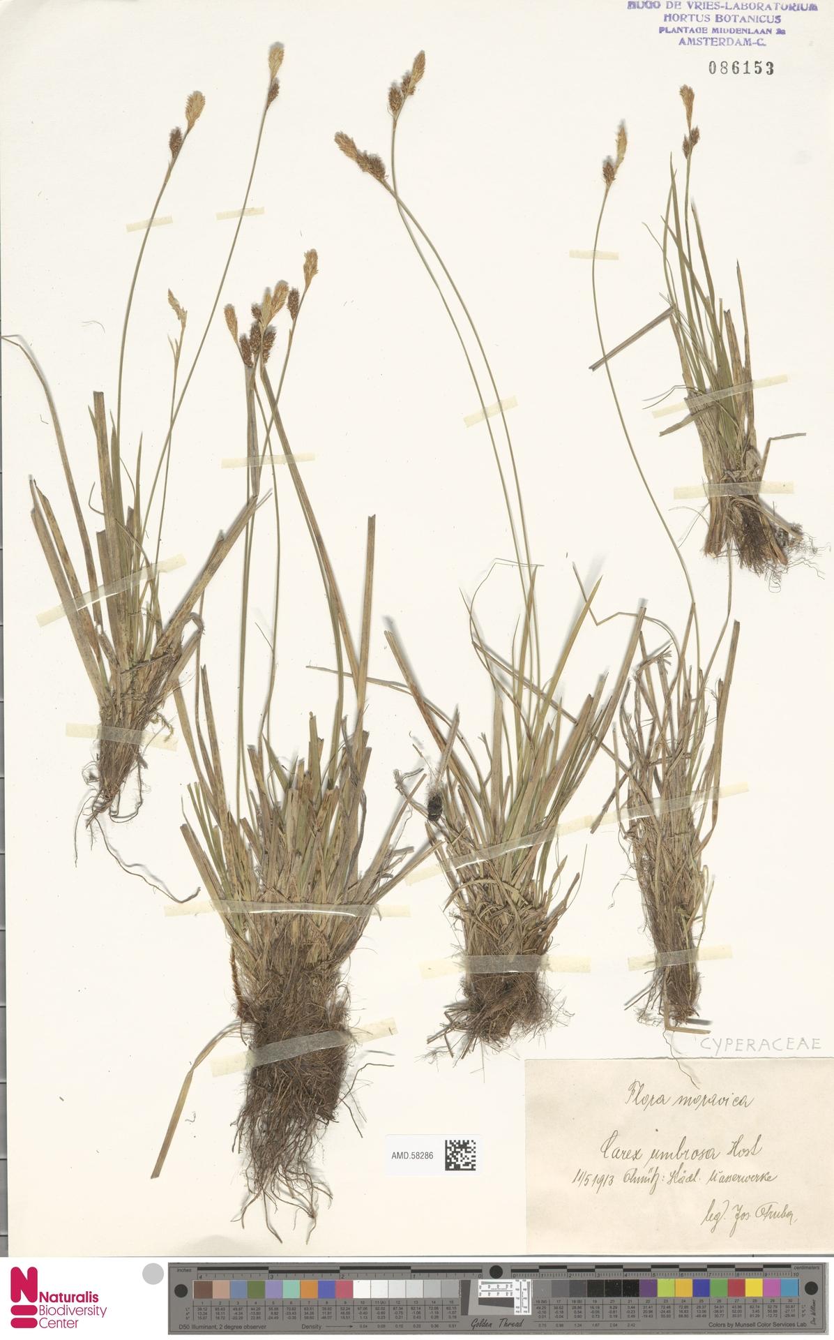 AMD.58286 | Carex umbrosa Host