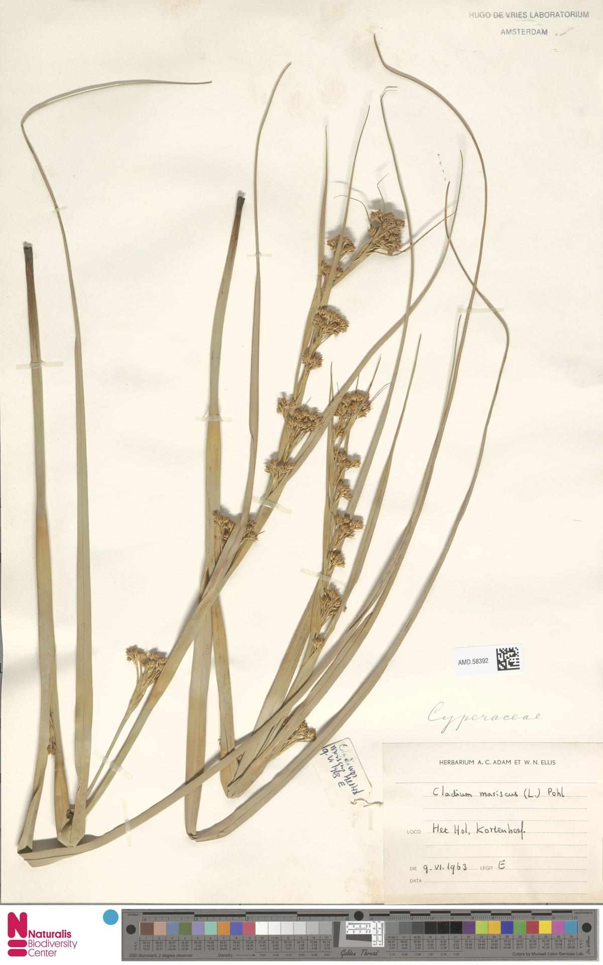AMD.58392 | Cladium mariscus (L.) Pohl