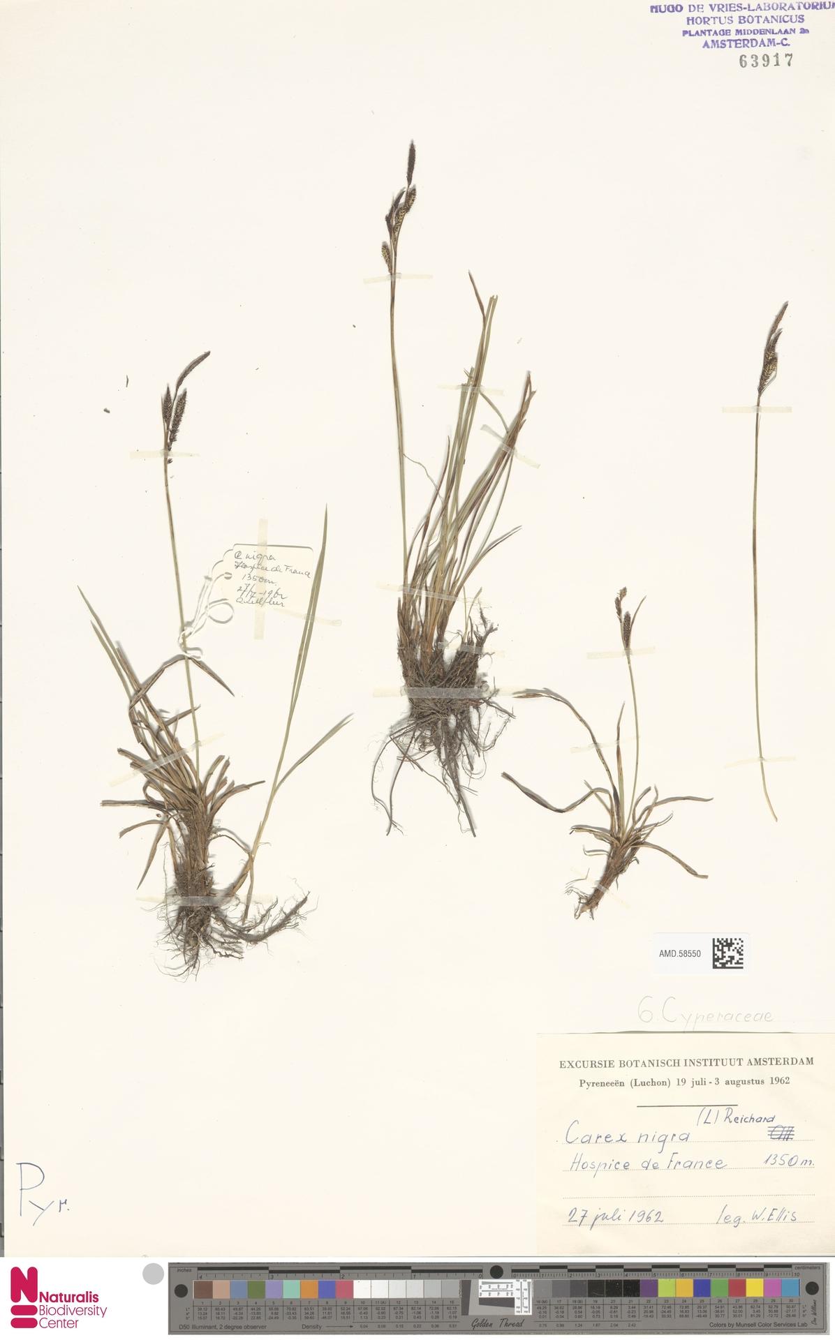 AMD.58550   Carex nigra (L.) Reichard