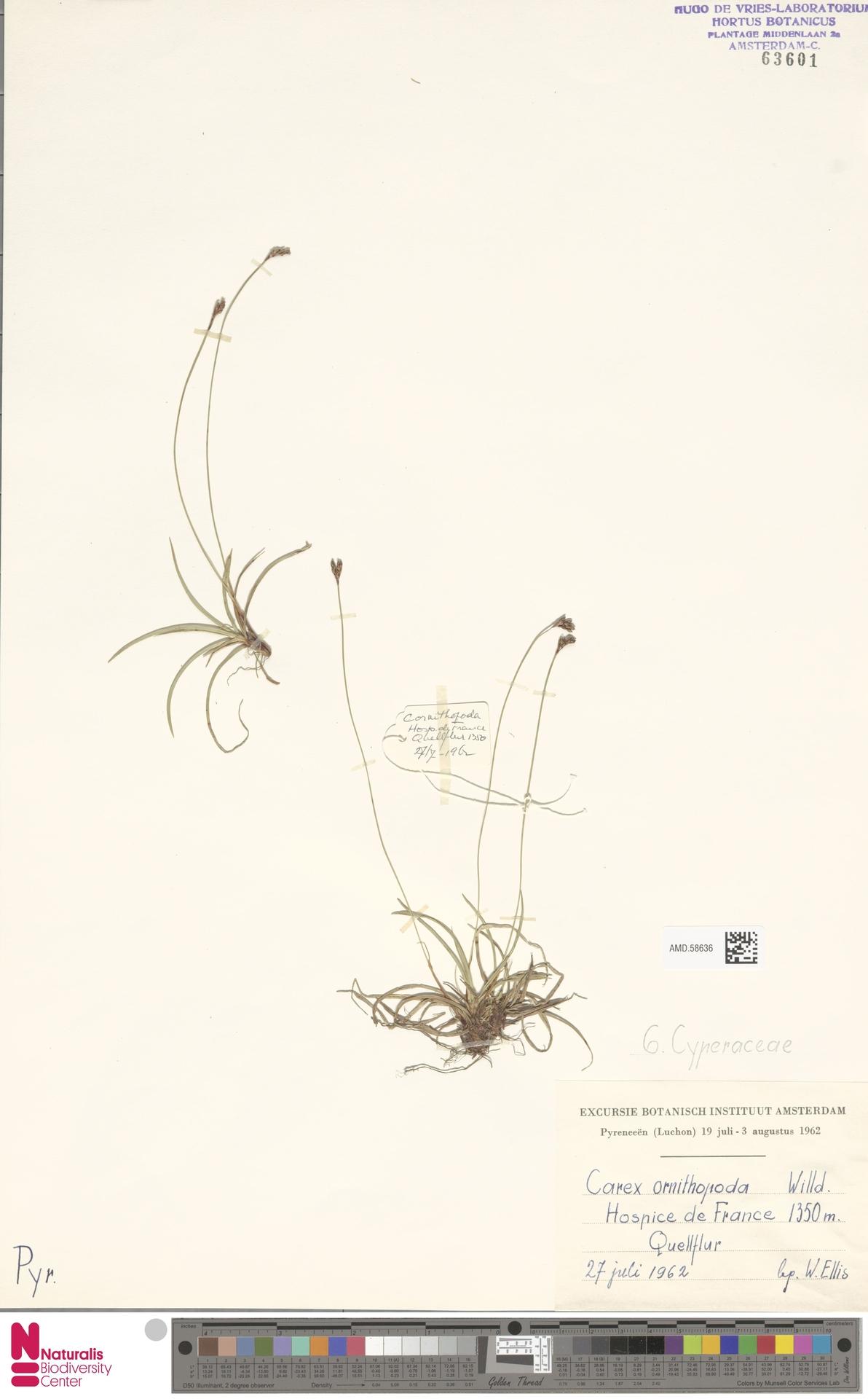 AMD.58636 | Carex ornithopoda Willd.
