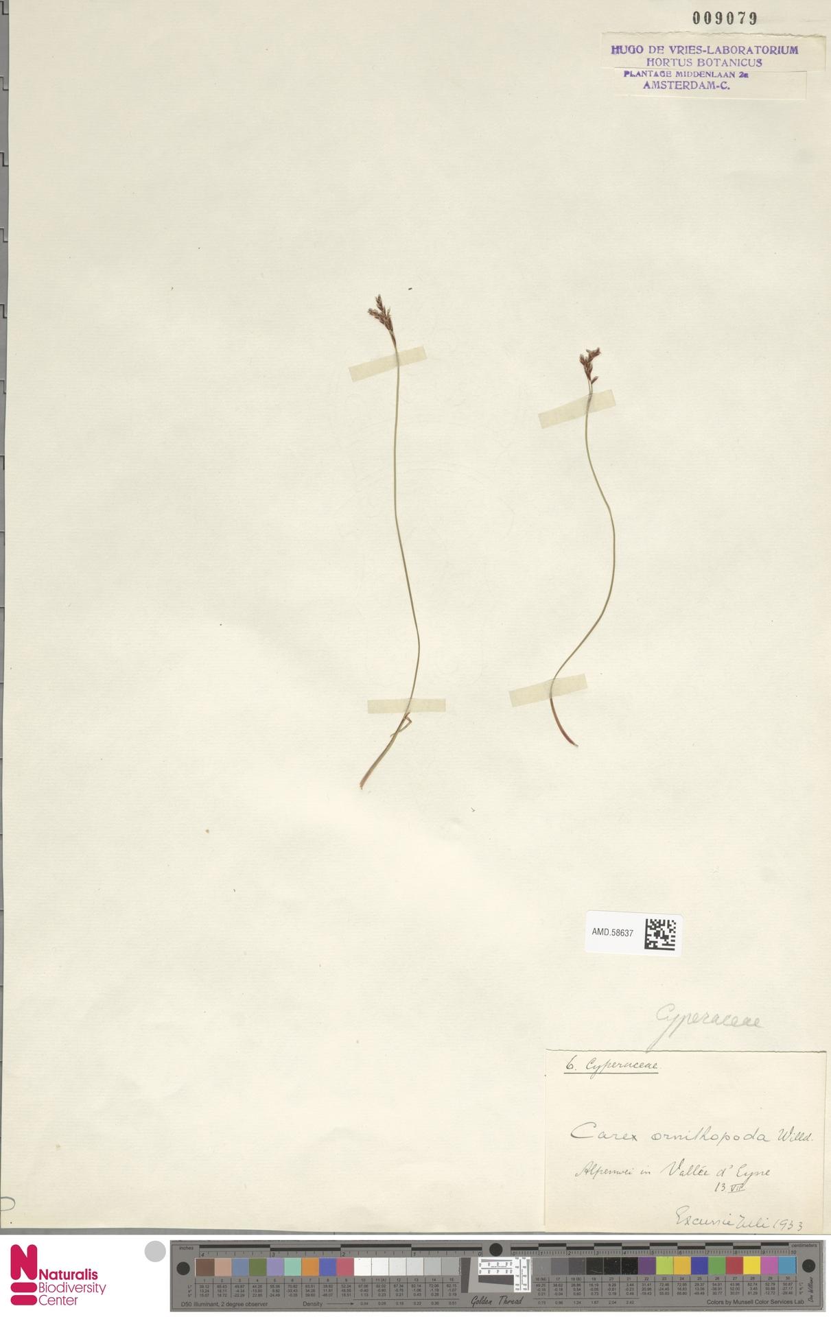 AMD.58637 | Carex ornithopoda Willd.
