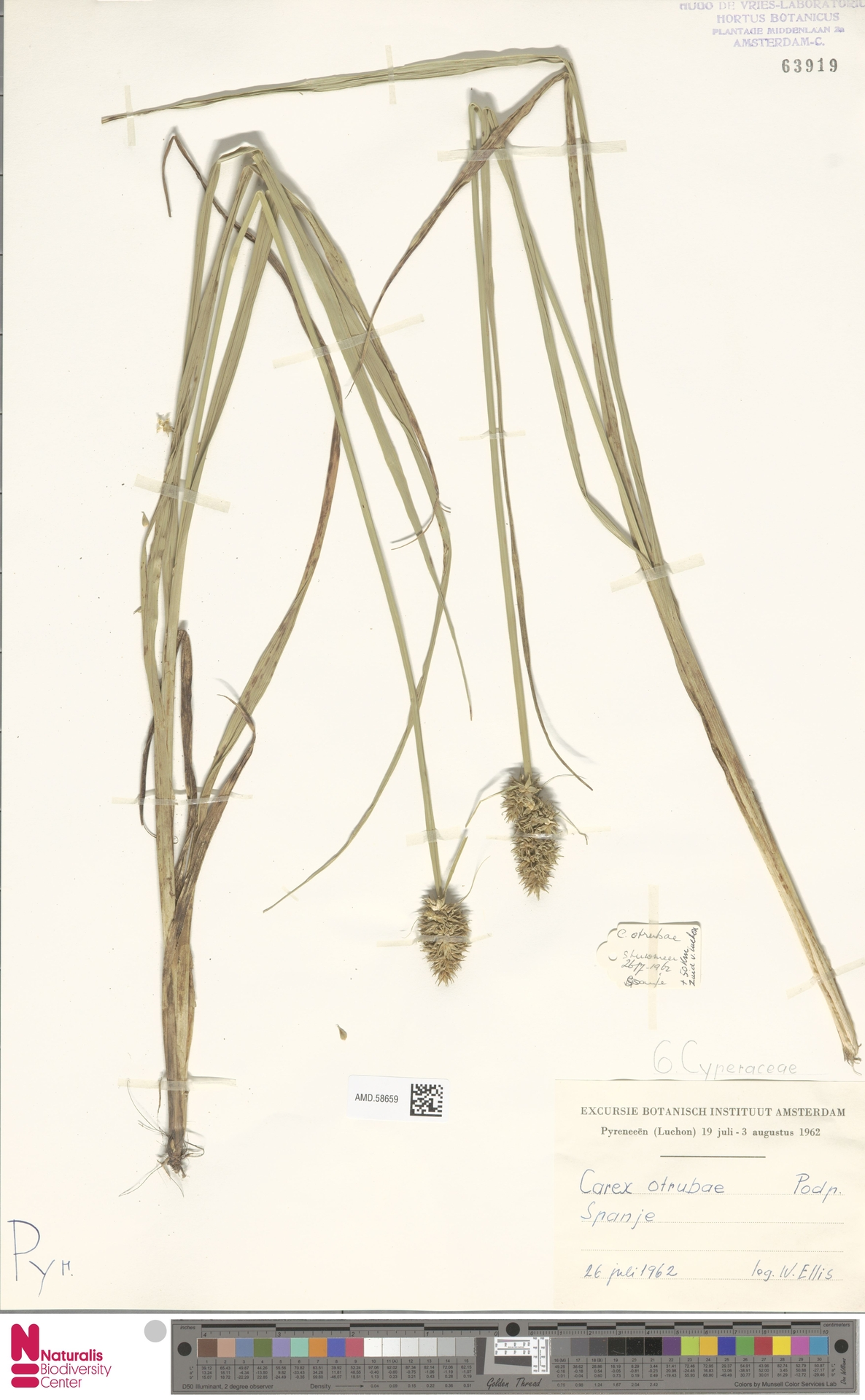 AMD.58659 | Carex otrubae Podp.