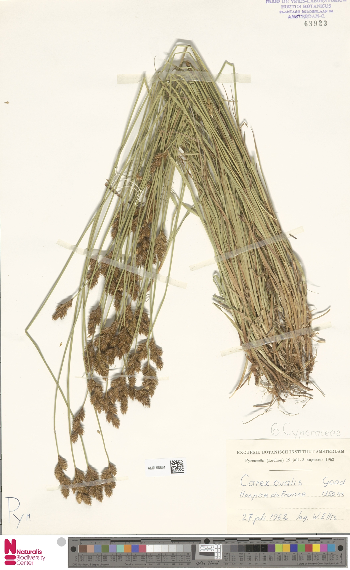 AMD.58691 | Carex ovalis Gooden.