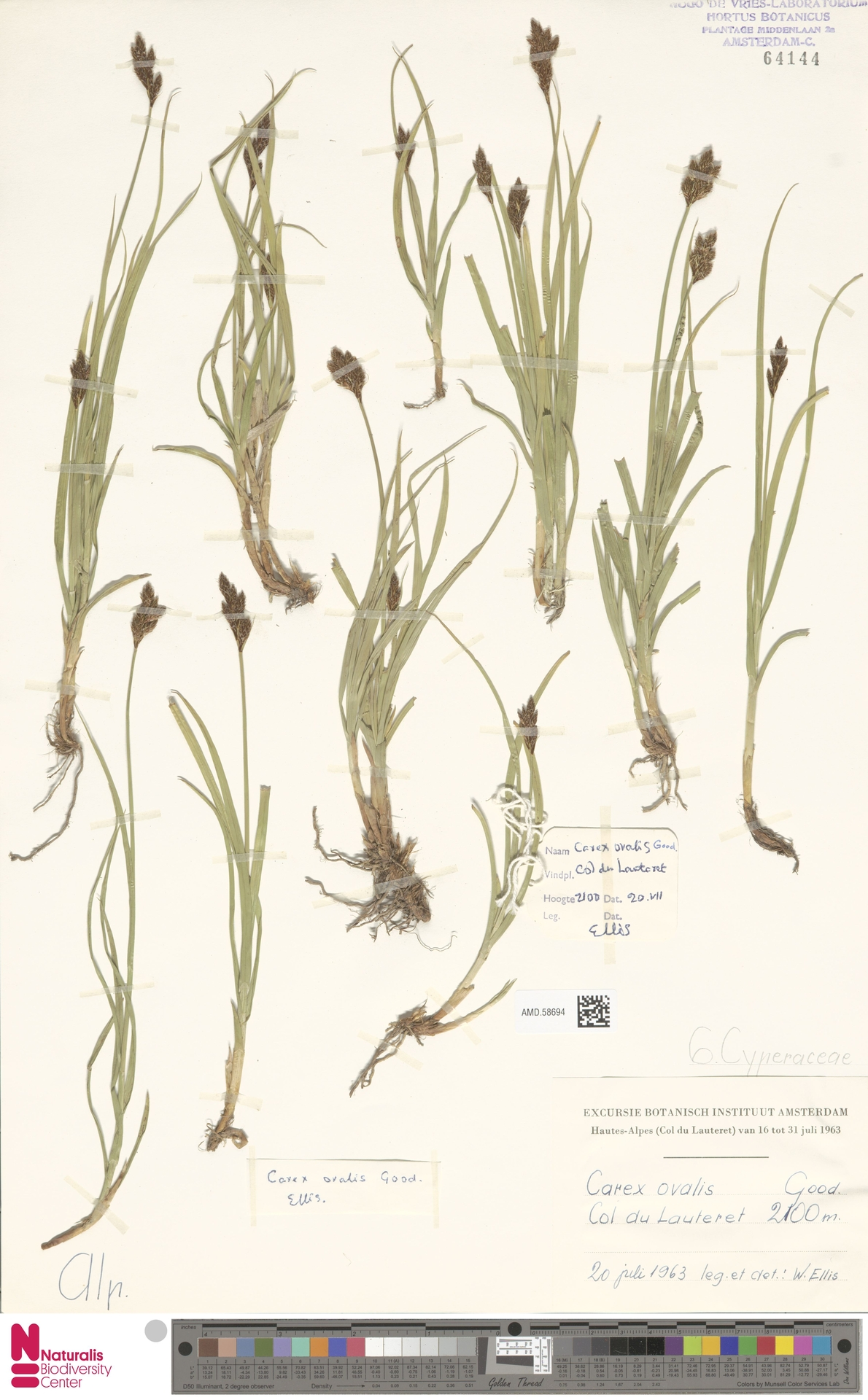 AMD.58694 | Carex ovalis Gooden.