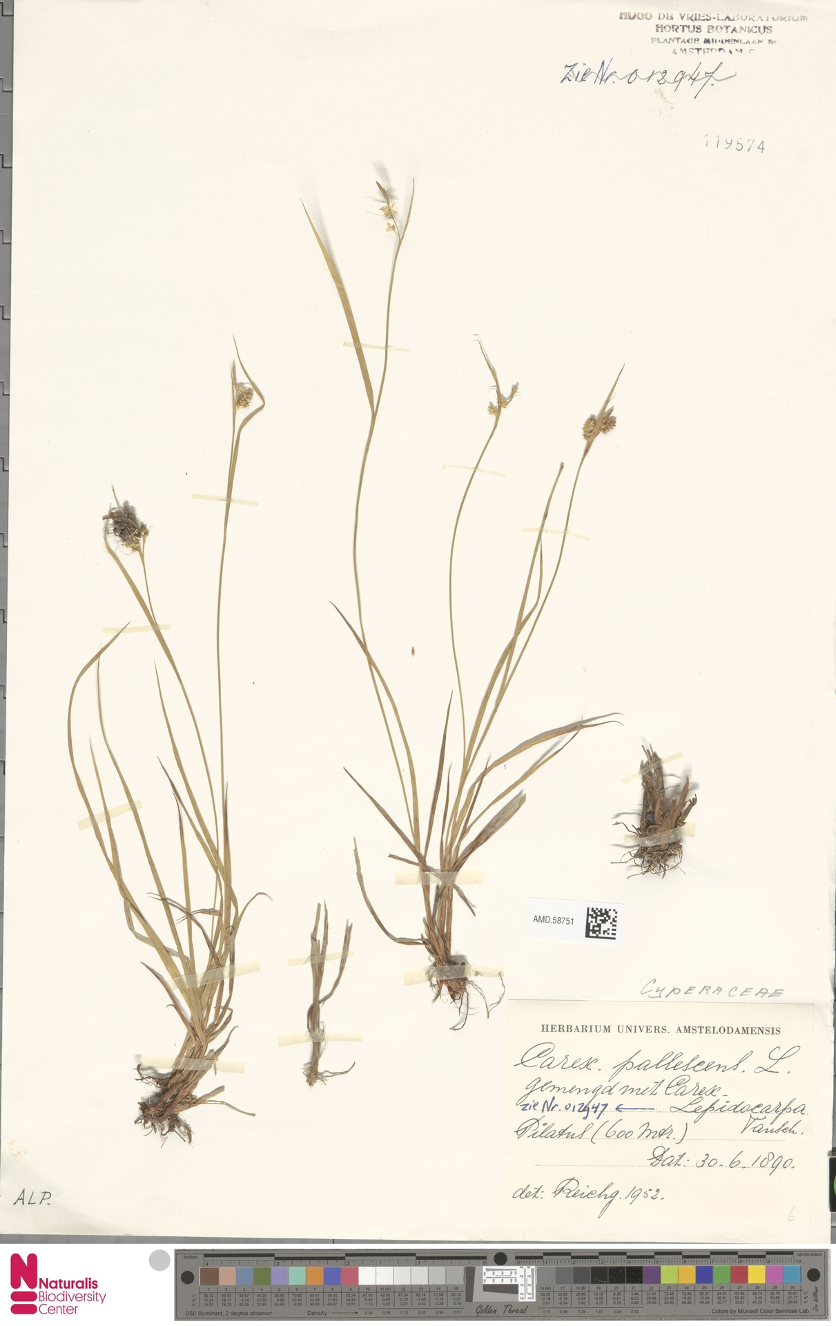 AMD.58751 | Carex pallescens L.