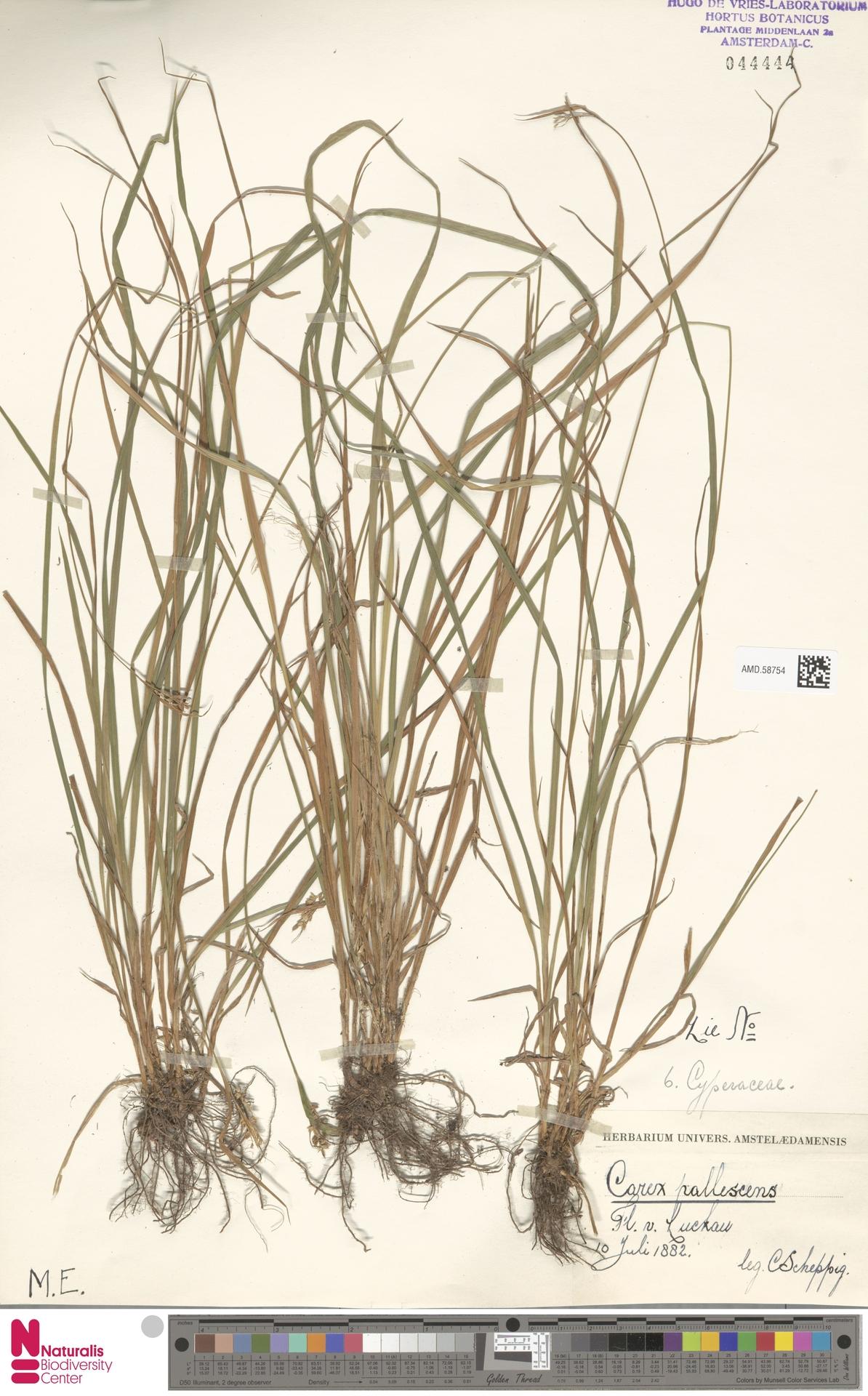AMD.58754 | Carex pallescens L.