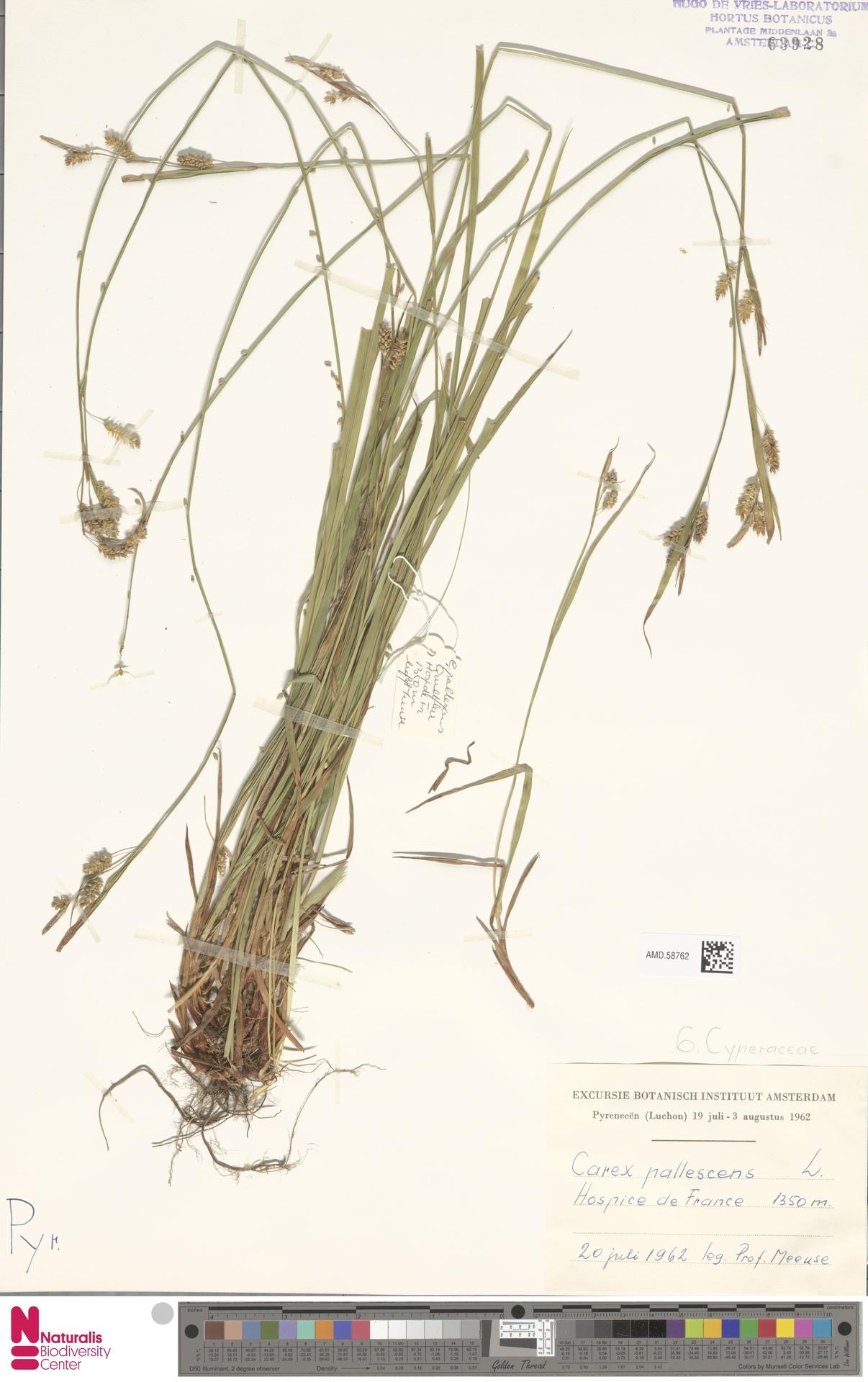 AMD.58762   Carex pallescens L.
