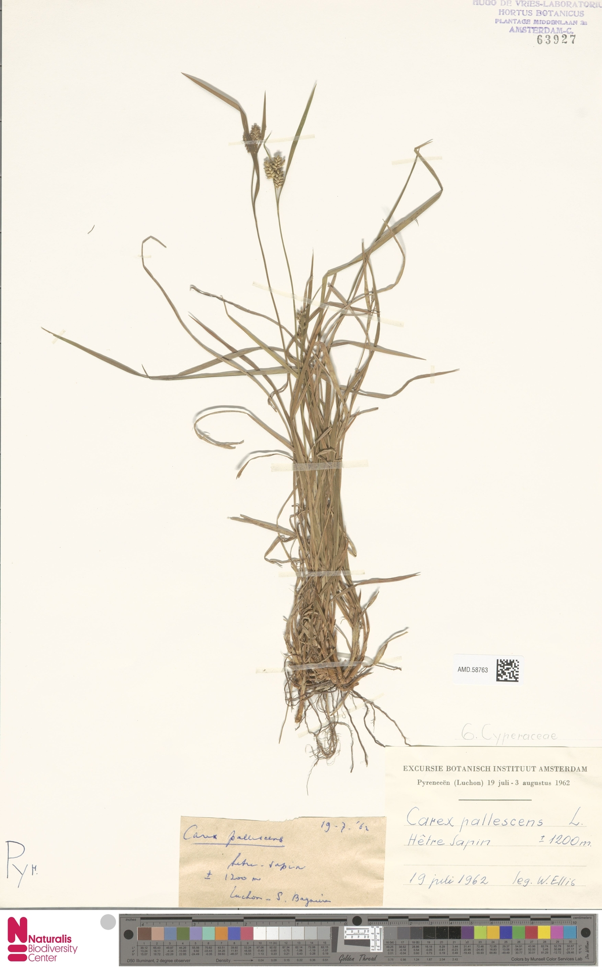 AMD.58763 | Carex pallescens L.