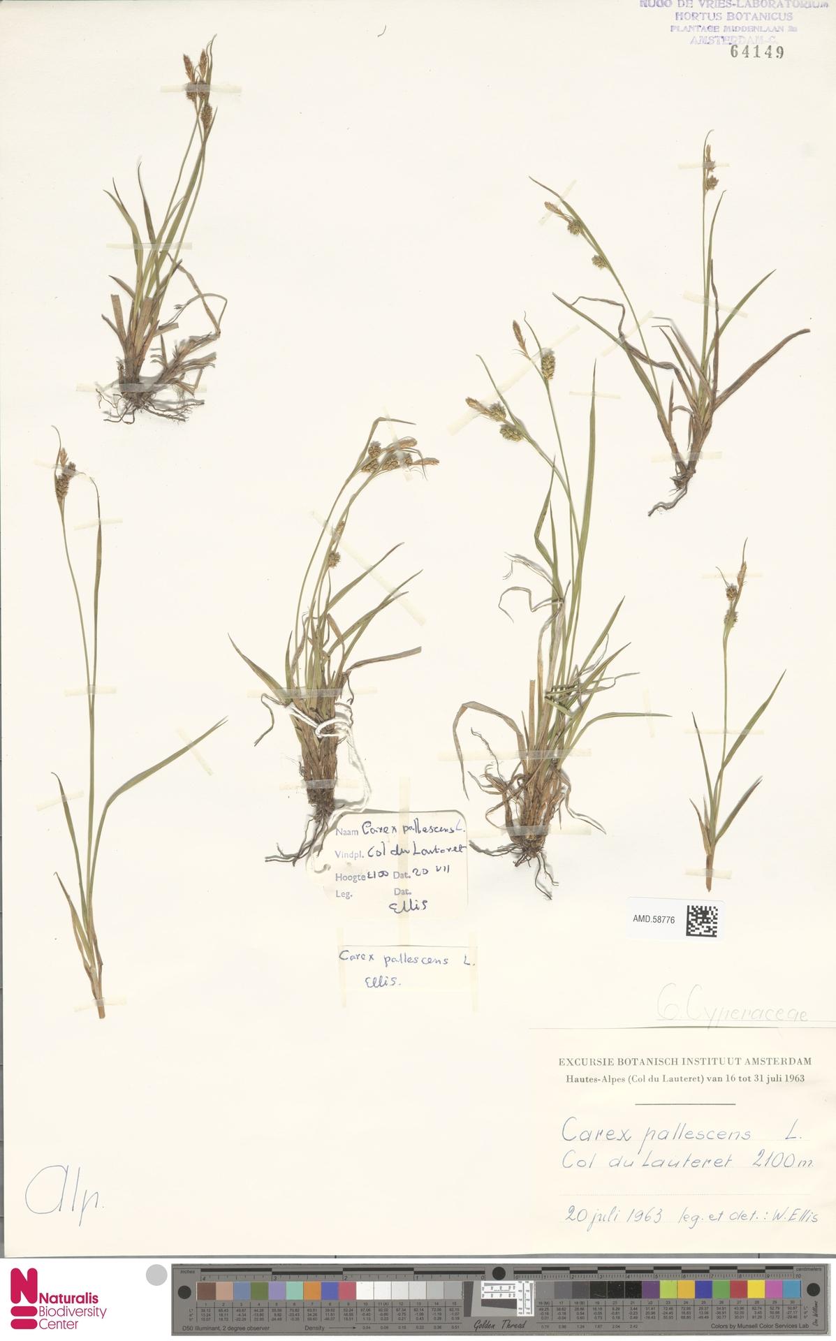 AMD.58776 | Carex pallescens L.