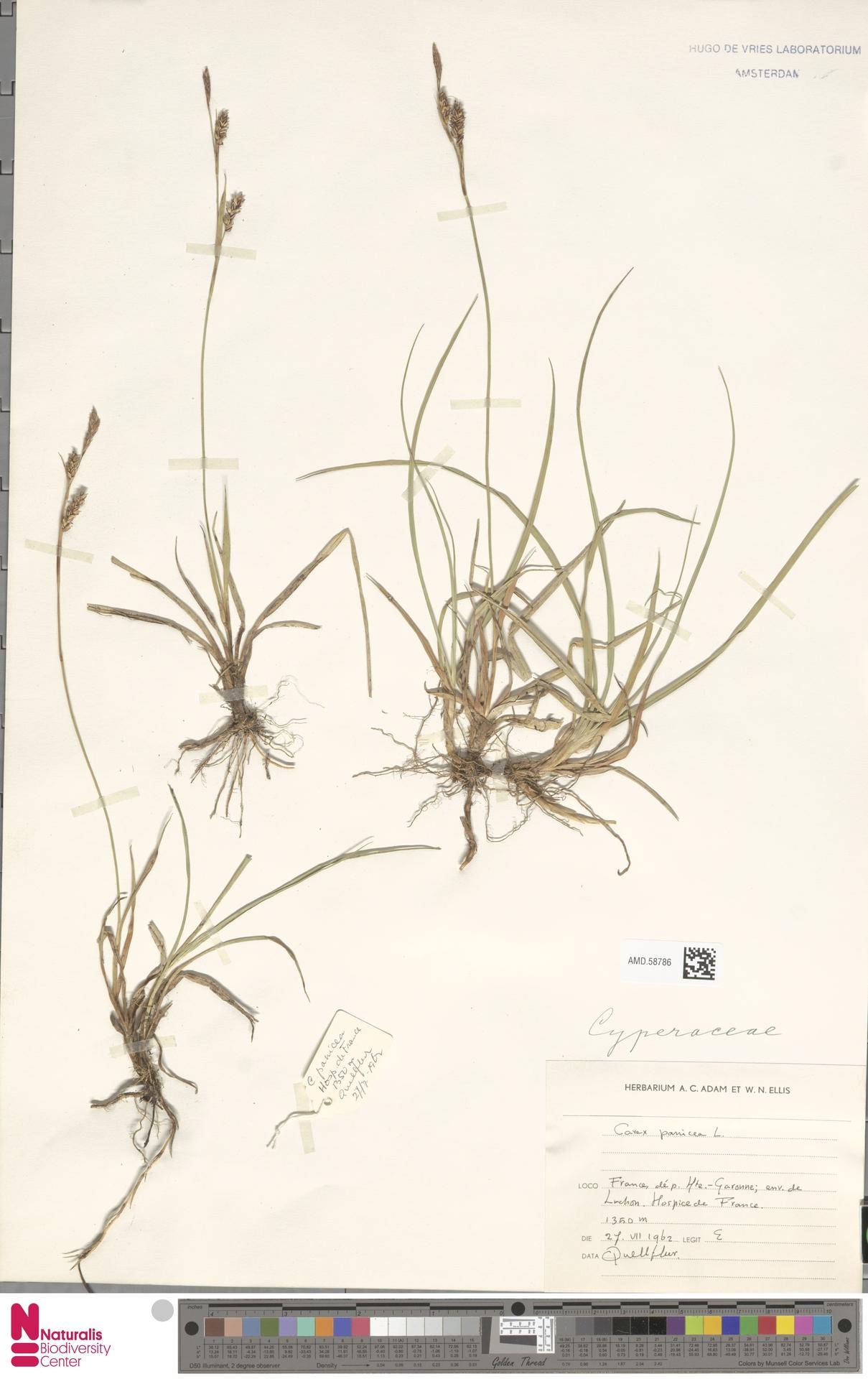 AMD.58786   Carex panicea L.