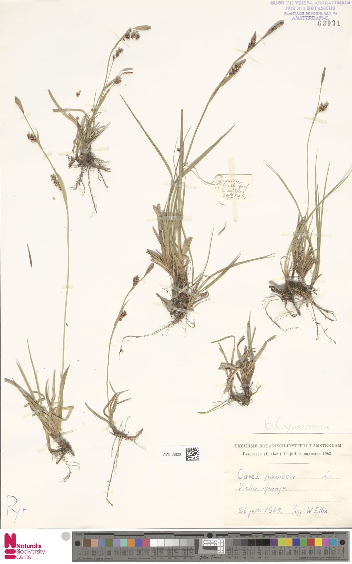 AMD.58820 | Carex panicea L.