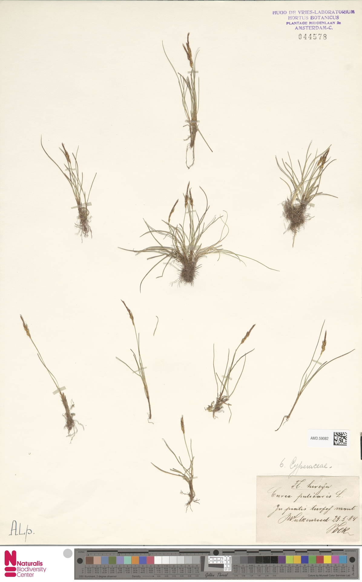 AMD.59082   Carex pulicaris L.