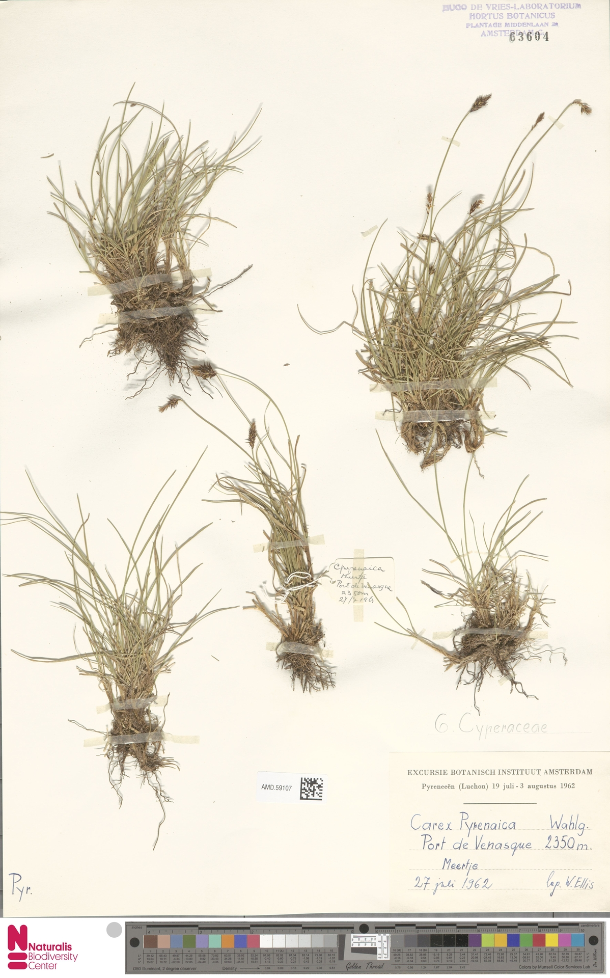 AMD.59107 | Carex pyrenaica Wahlenb.