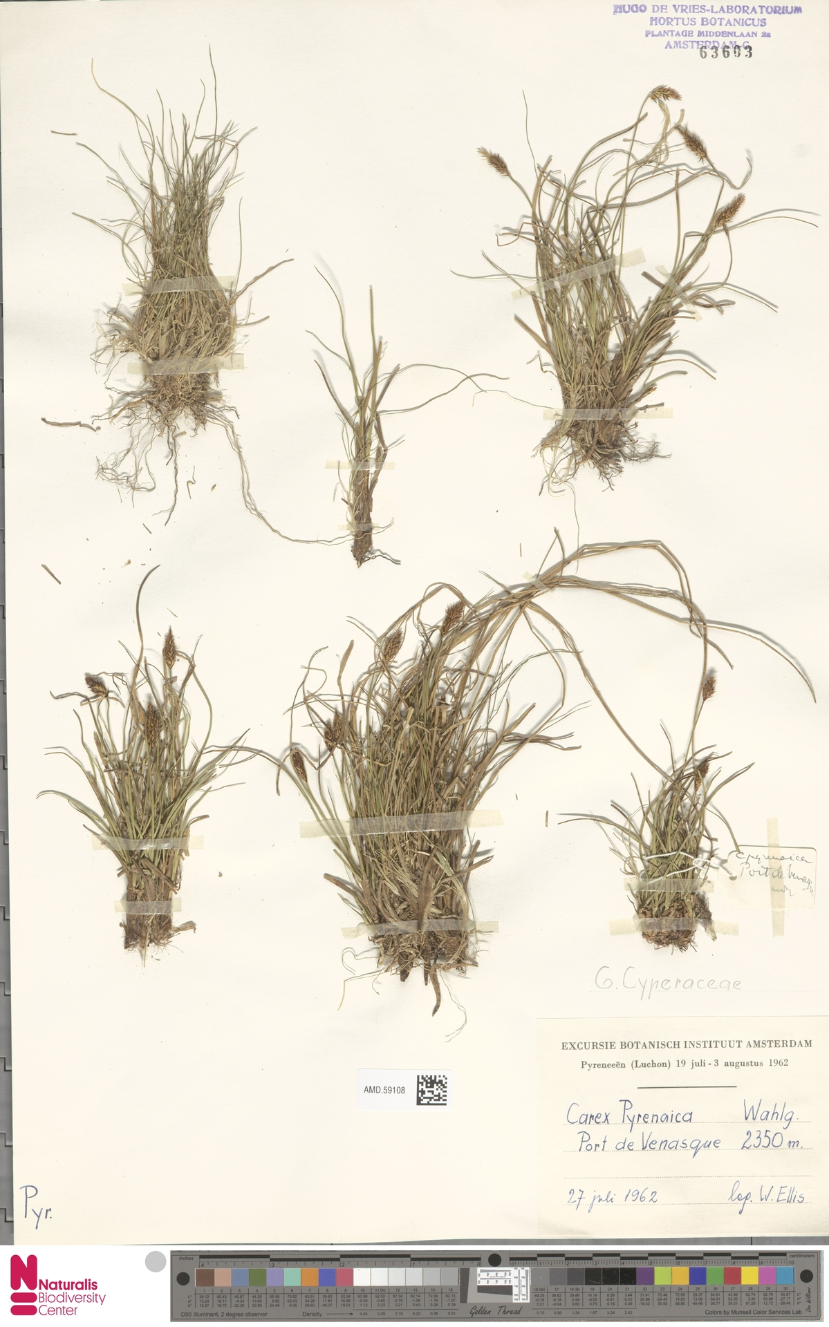AMD.59108 | Carex pyrenaica Wahlenb.