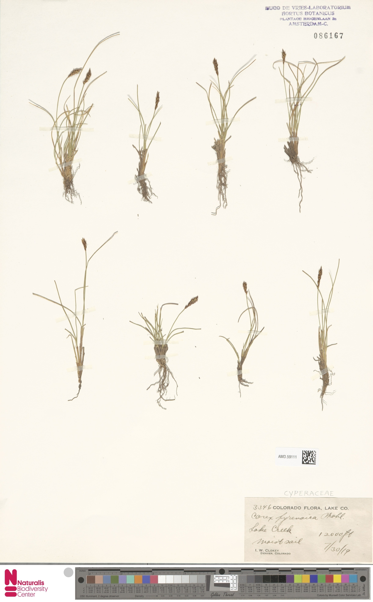 AMD.59111 | Carex pyrenaica Wahlenb.
