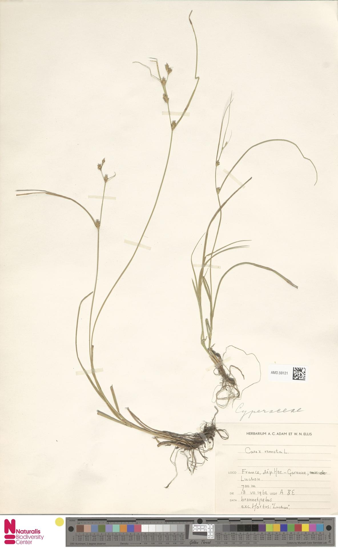 AMD.59121 | Carex remota L.