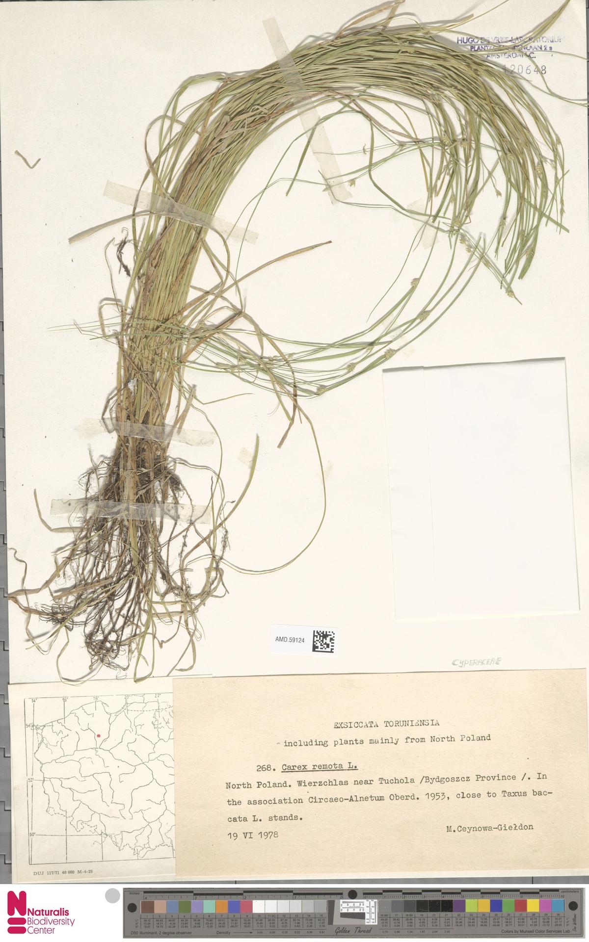AMD.59124 | Carex remota L.
