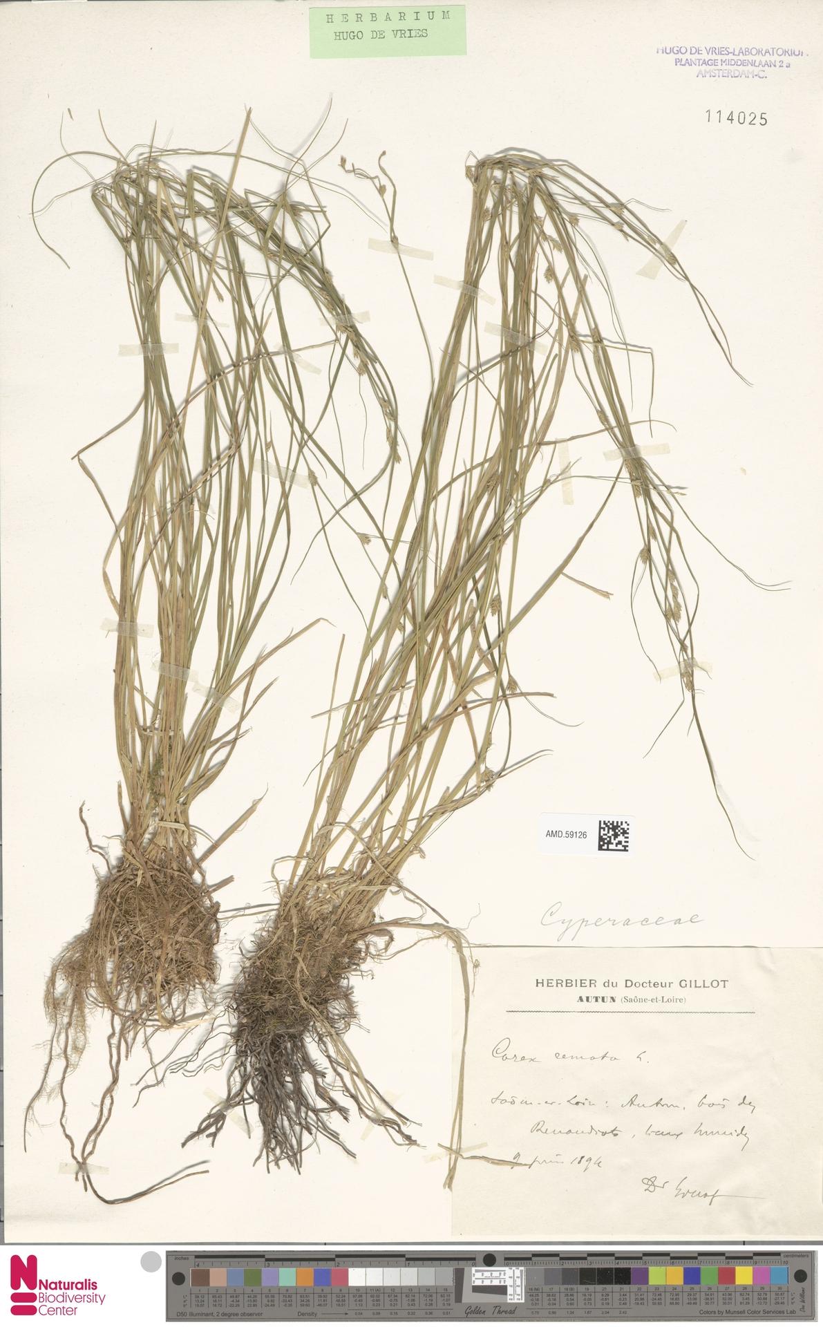 AMD.59126 | Carex remota L.