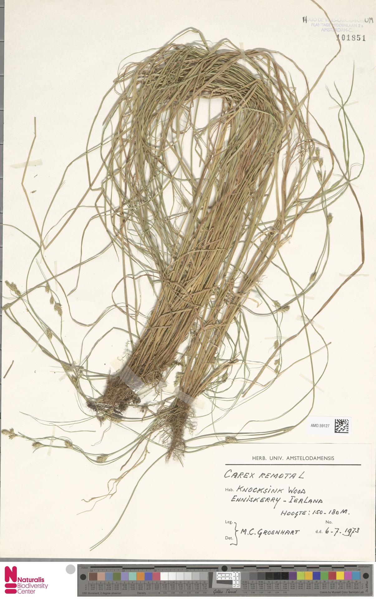 AMD.59127 | Carex remota L.
