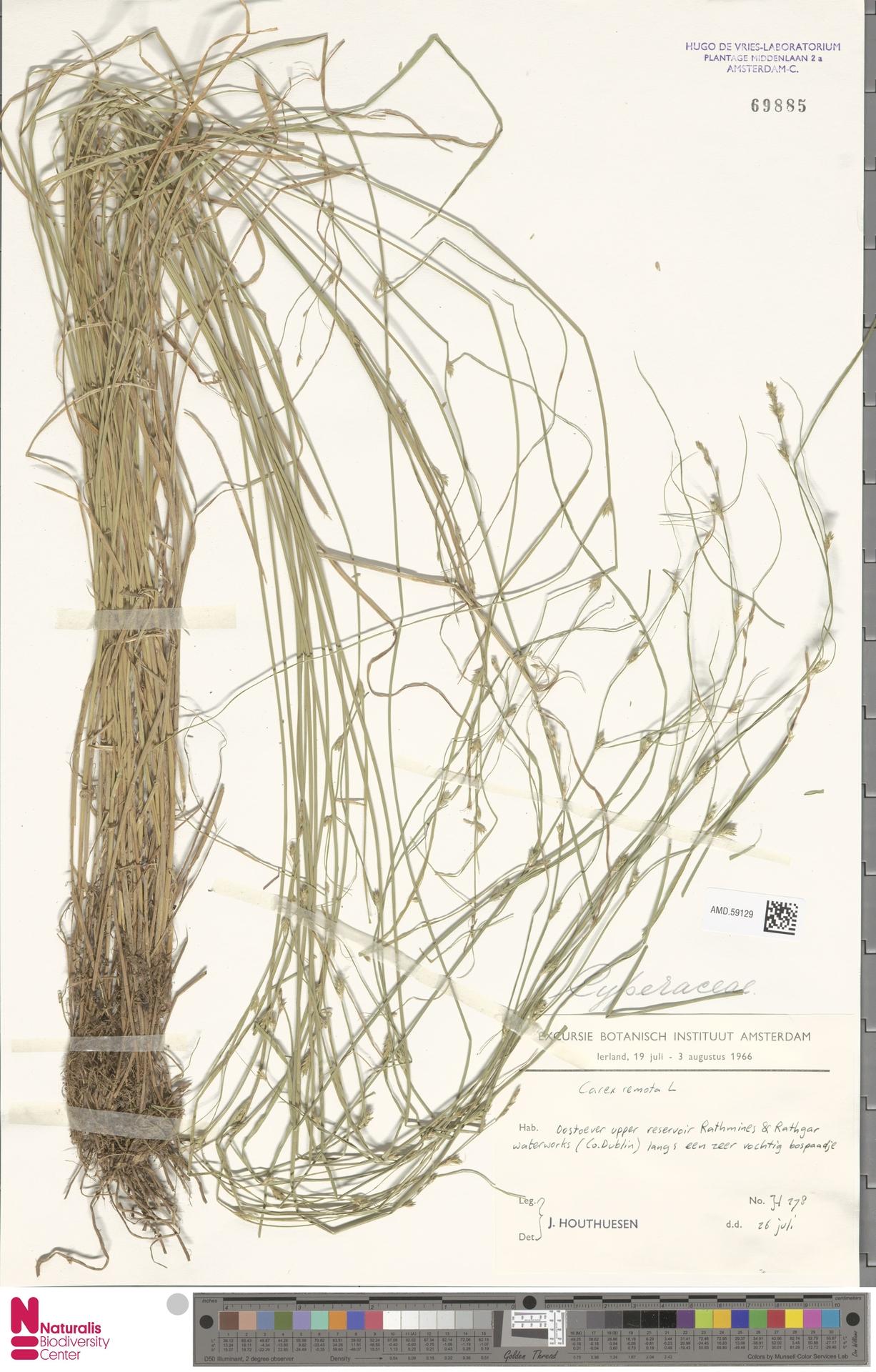AMD.59129   Carex remota L.
