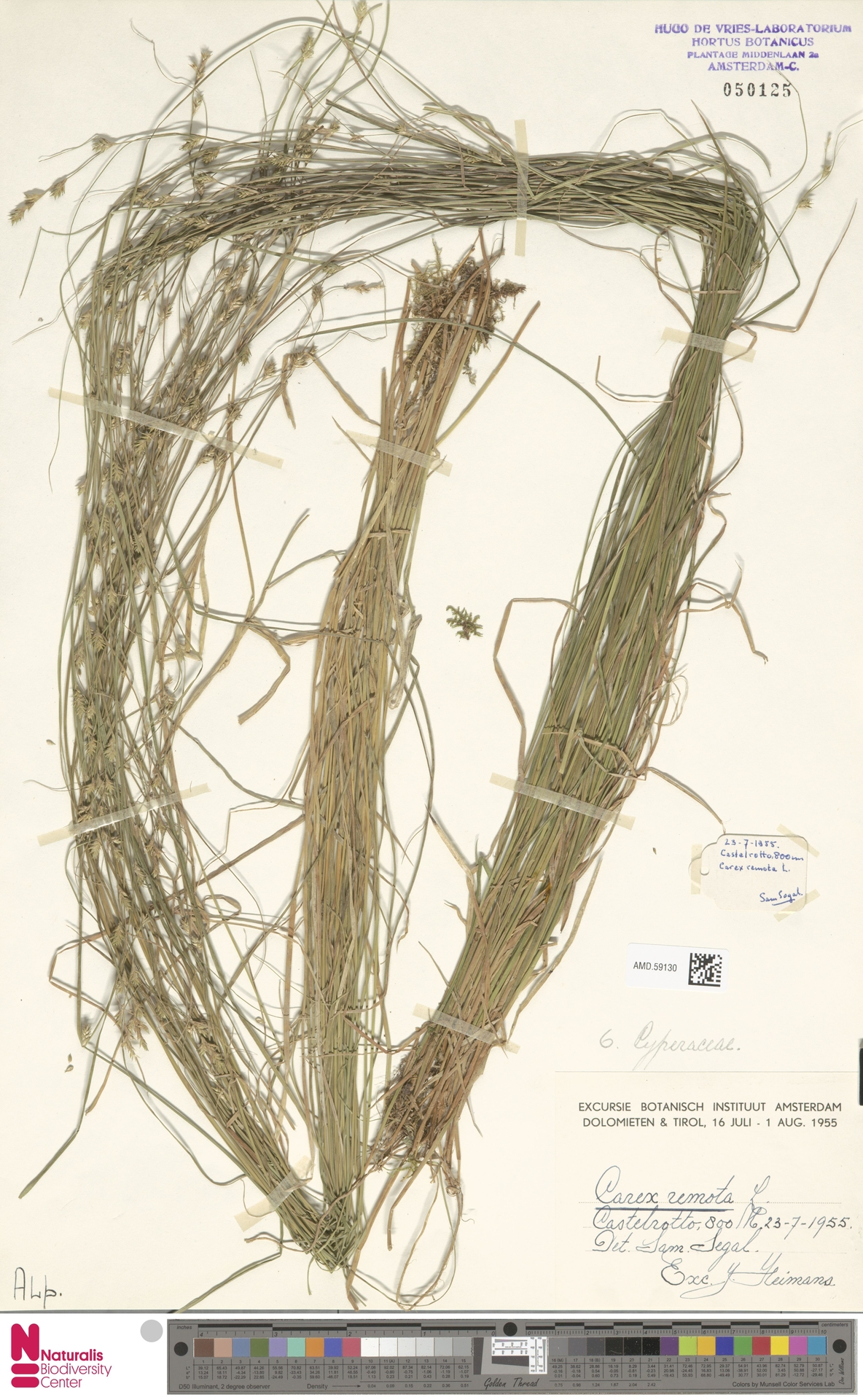 AMD.59130 | Carex remota L.