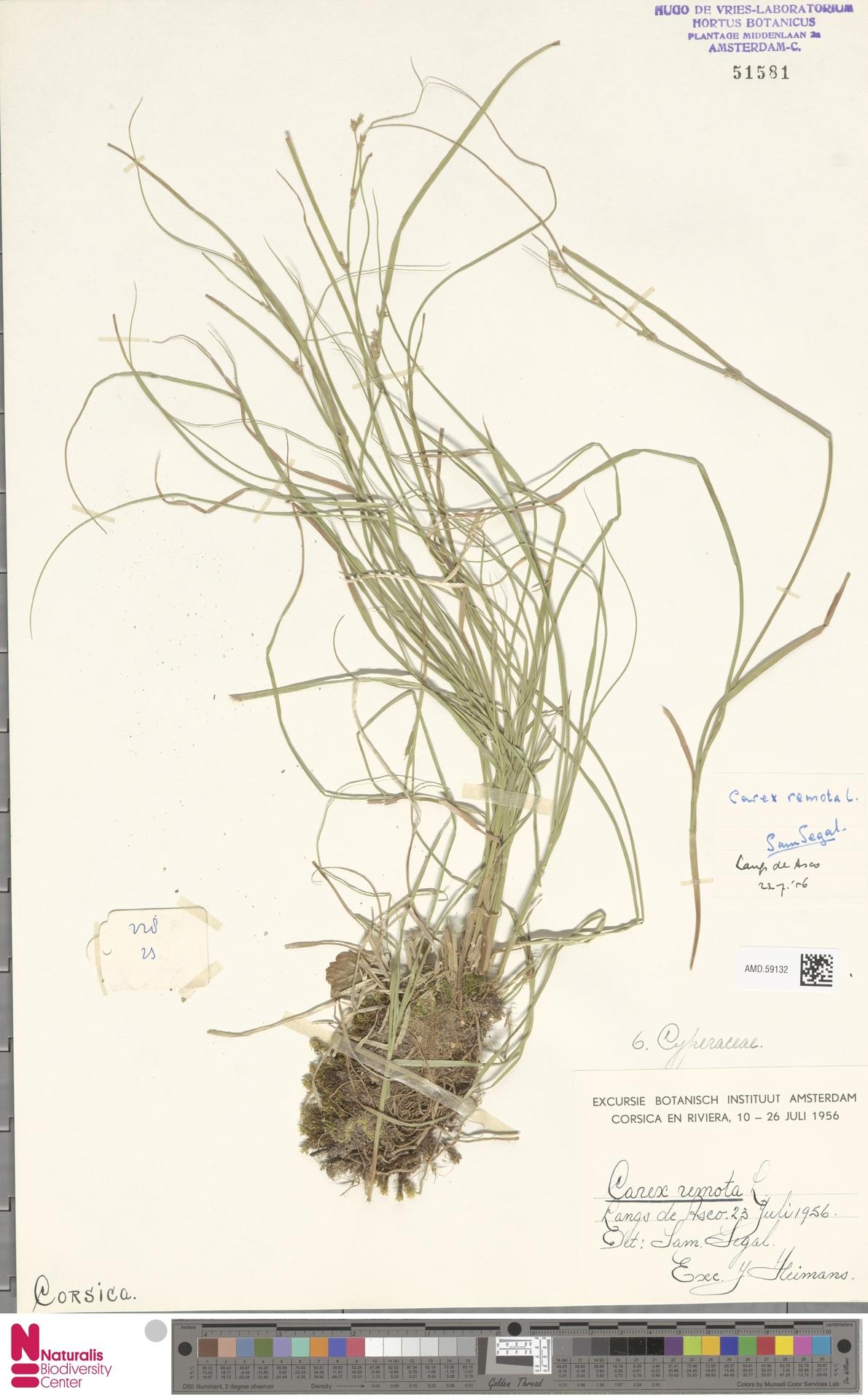 AMD.59132 | Carex remota L.