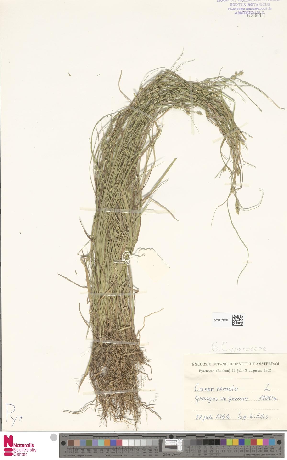AMD.59134 | Carex remota L.