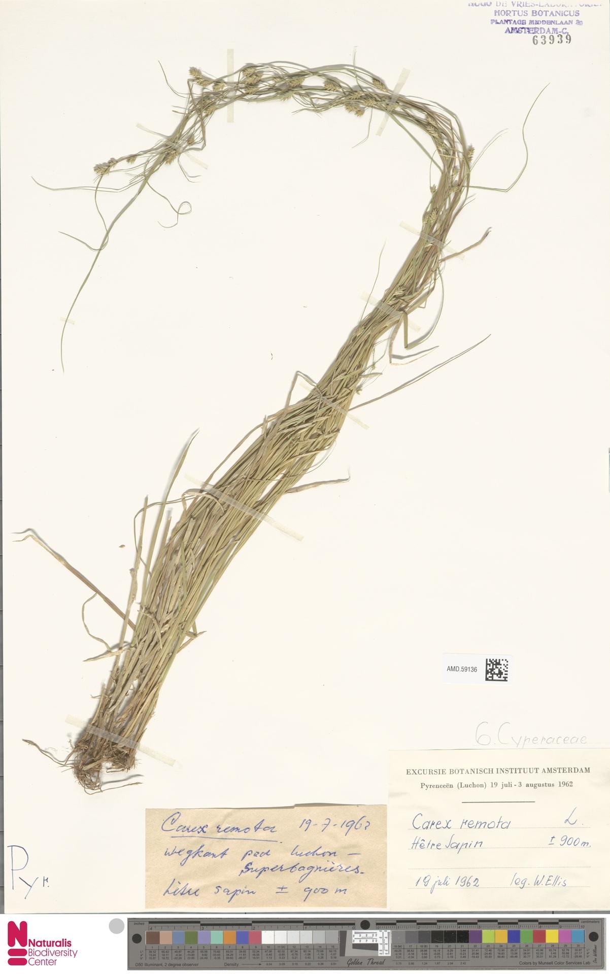 AMD.59136 | Carex remota L.