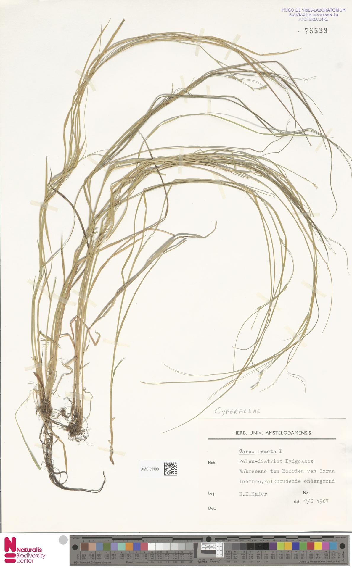 AMD.59138 | Carex remota L.