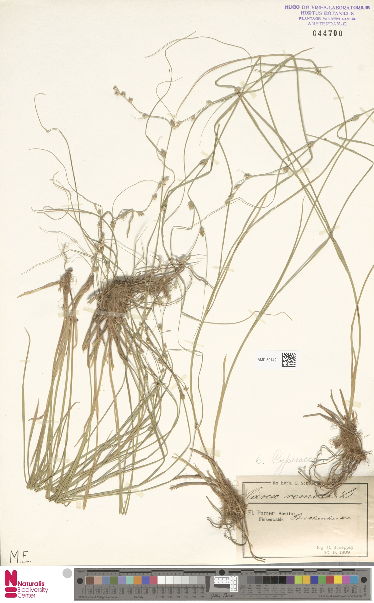 AMD.59142 | Carex remota L.