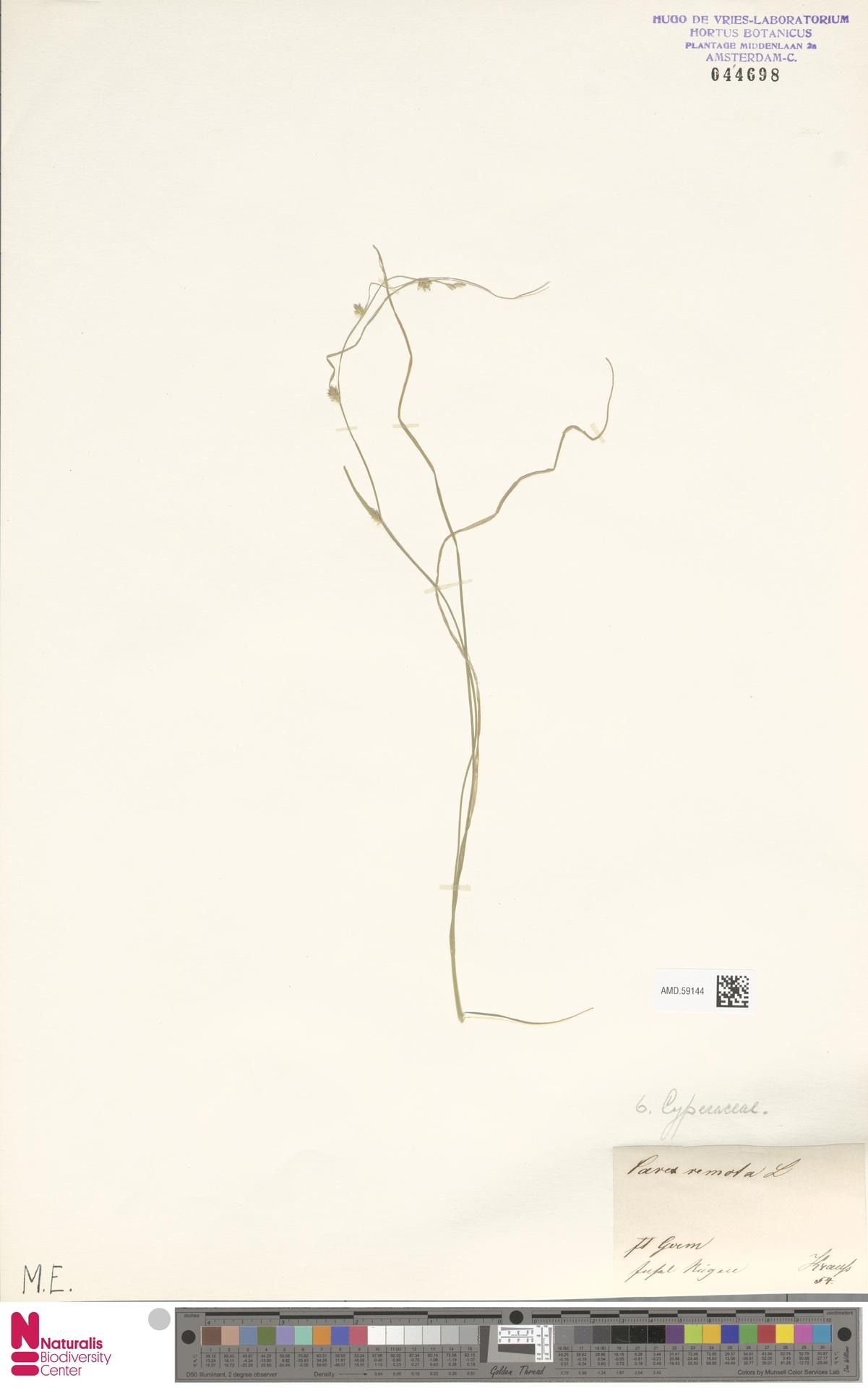 AMD.59144 | Carex remota L.