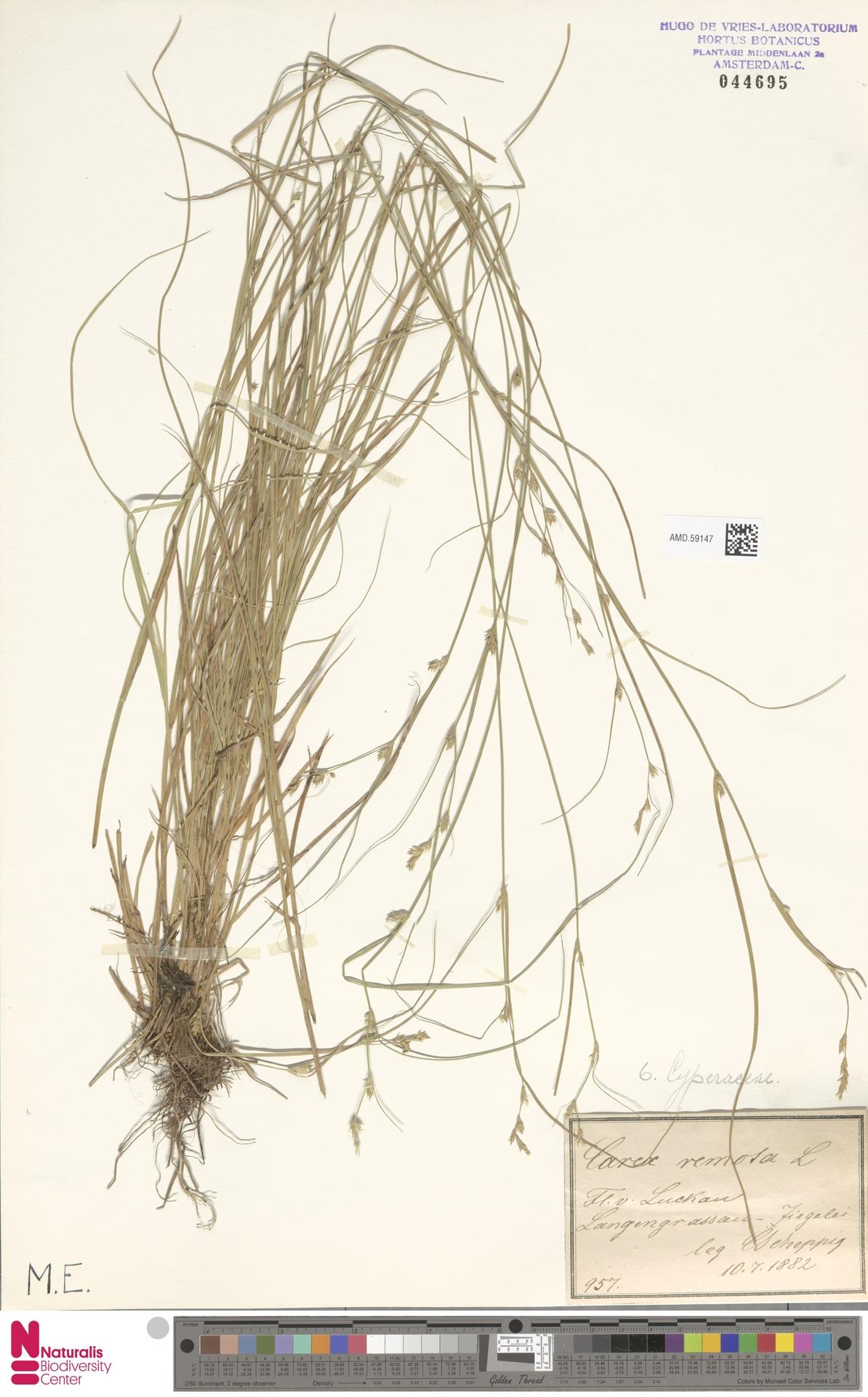 AMD.59147 | Carex remota L.