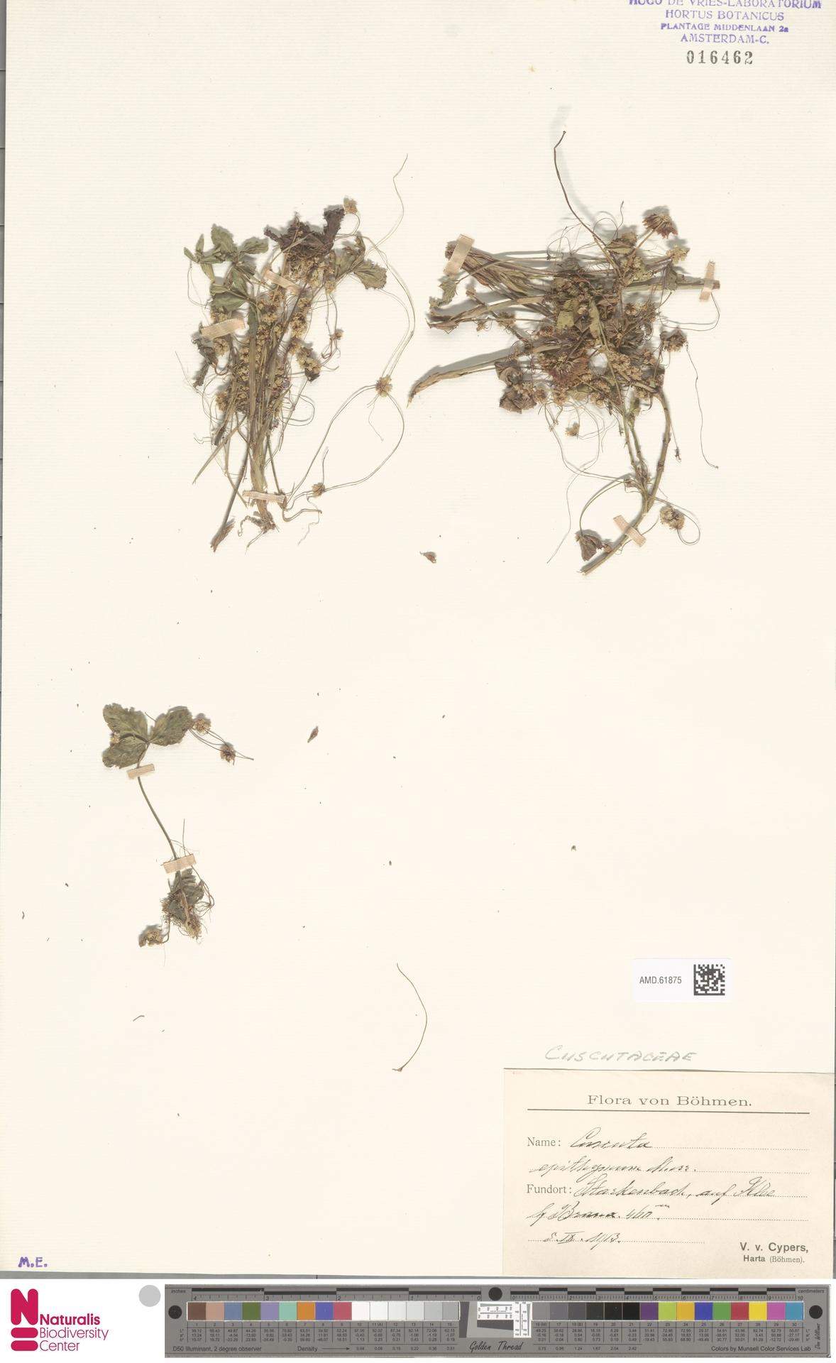AMD.61875 | Cuscuta epithymum (L.) L.
