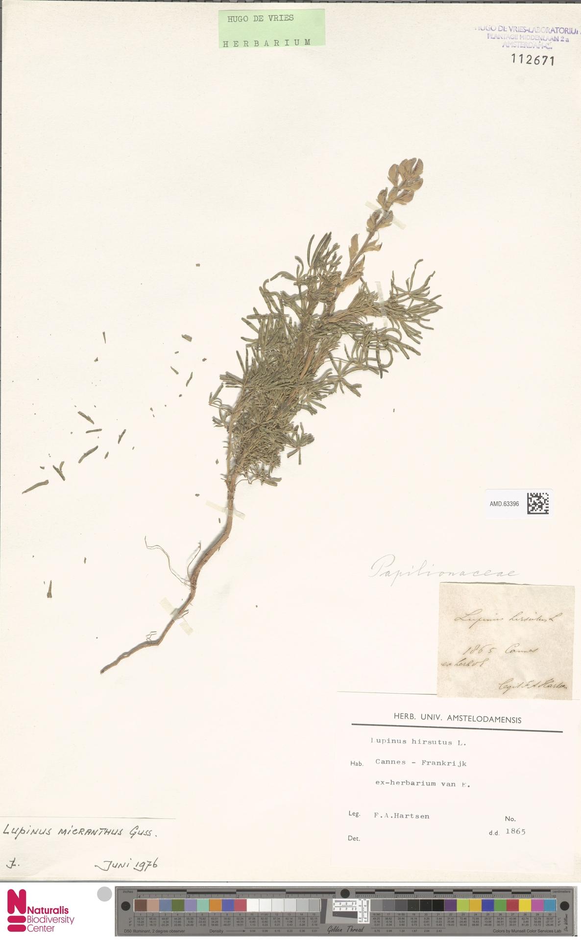 AMD.63396 | Lupinus micranthus Guss.