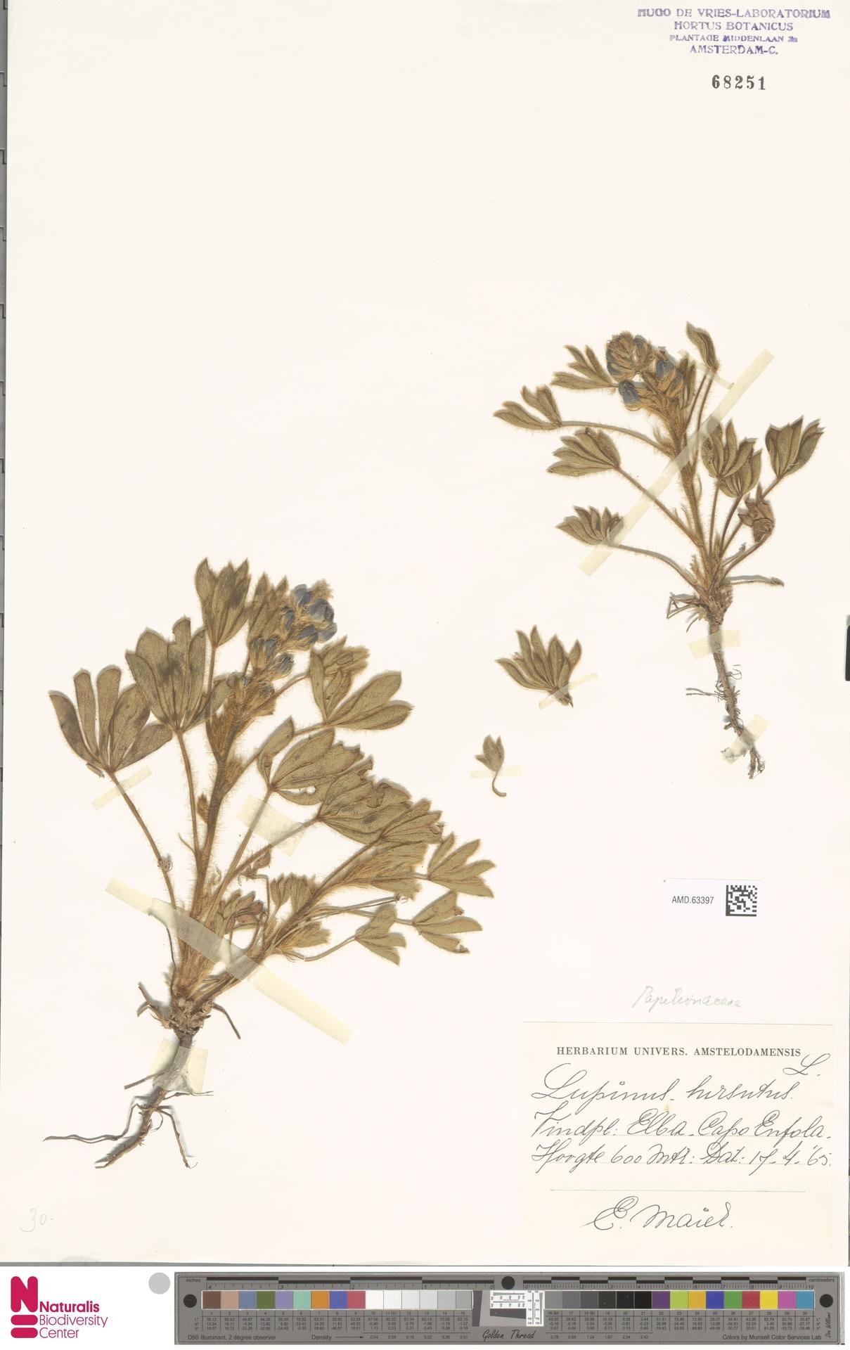 AMD.63397 | Lupinus micranthus Guss.