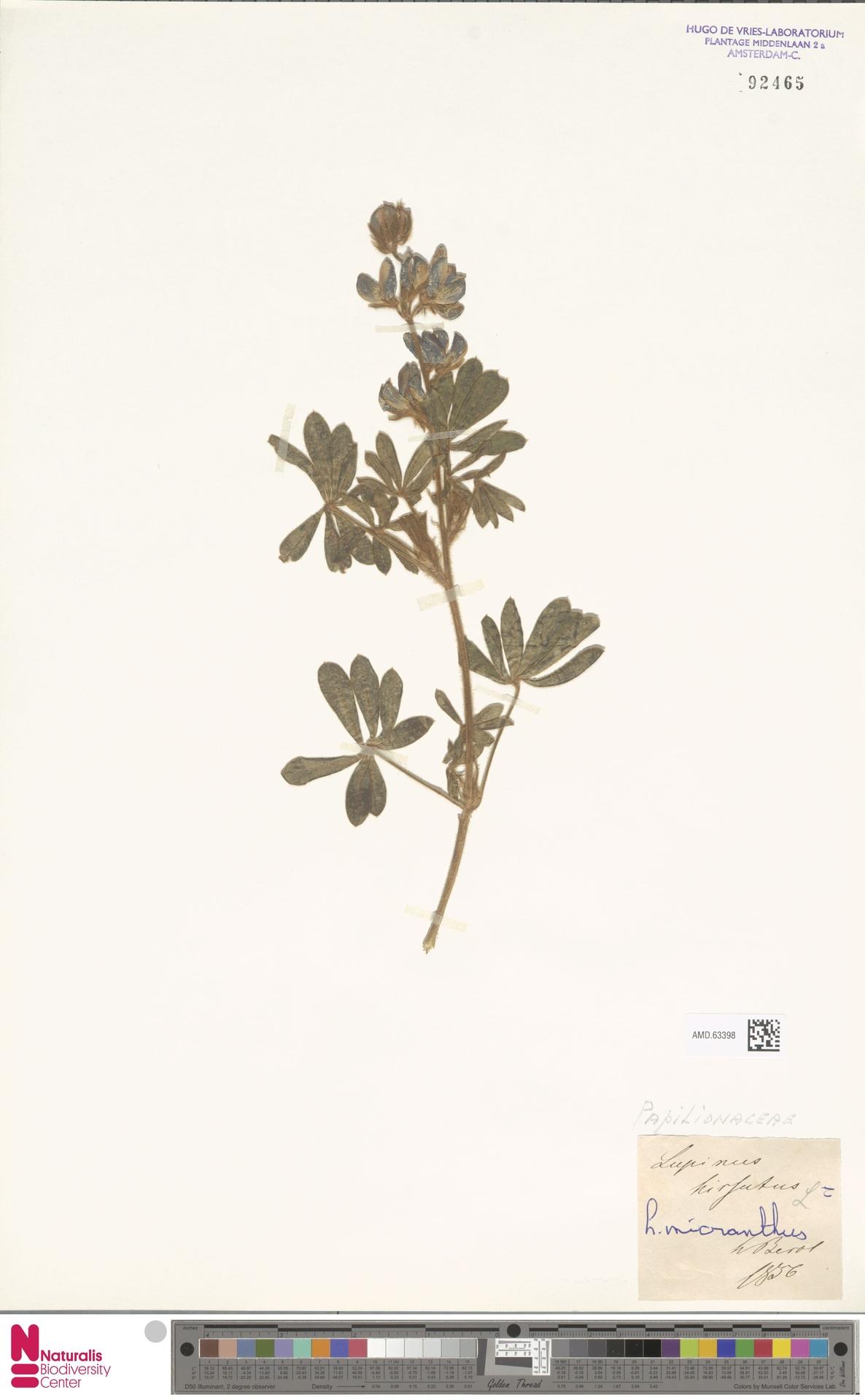 AMD.63398 | Lupinus micranthus Guss.
