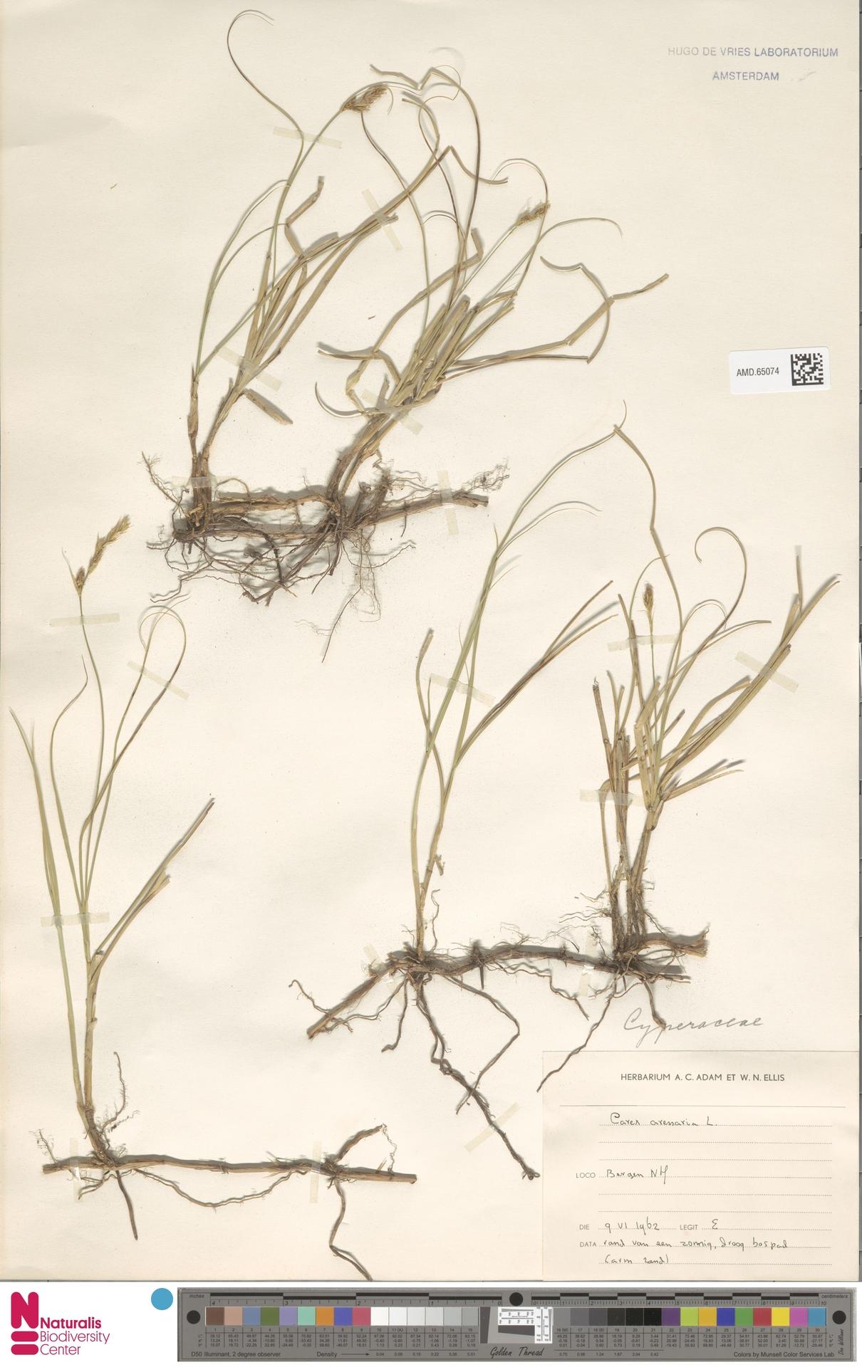 AMD.65074 | Carex arenaria L.