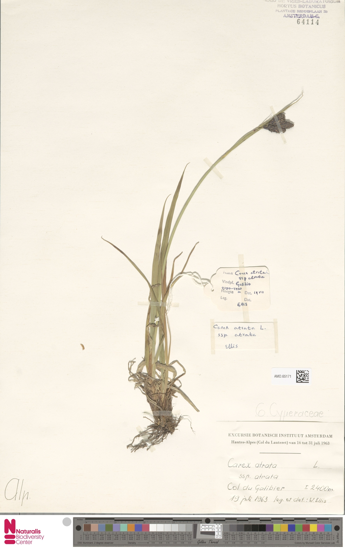 AMD.65171 | Carex atrata subsp. atrata