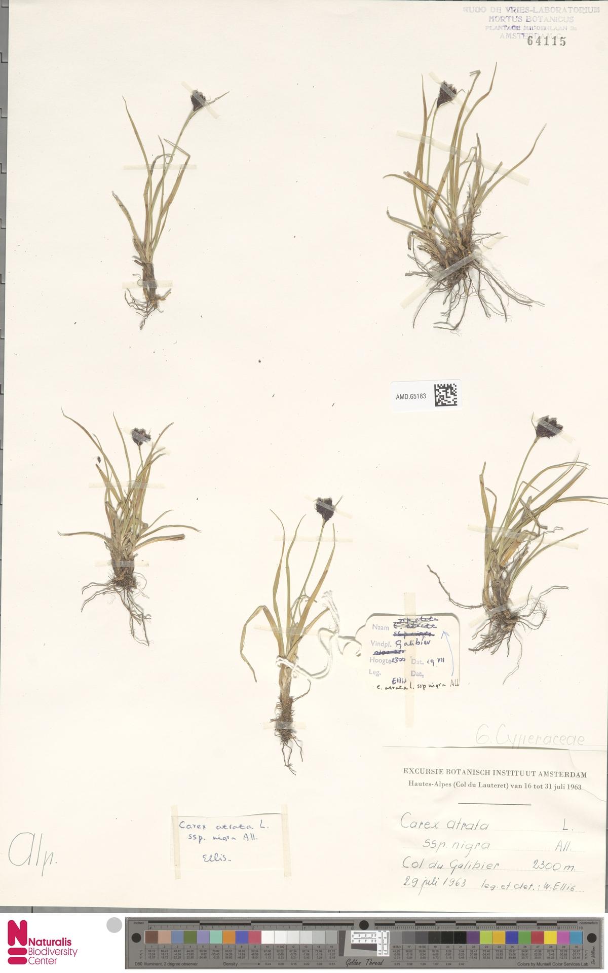 AMD.65183 | Carex atrata subsp. nigra