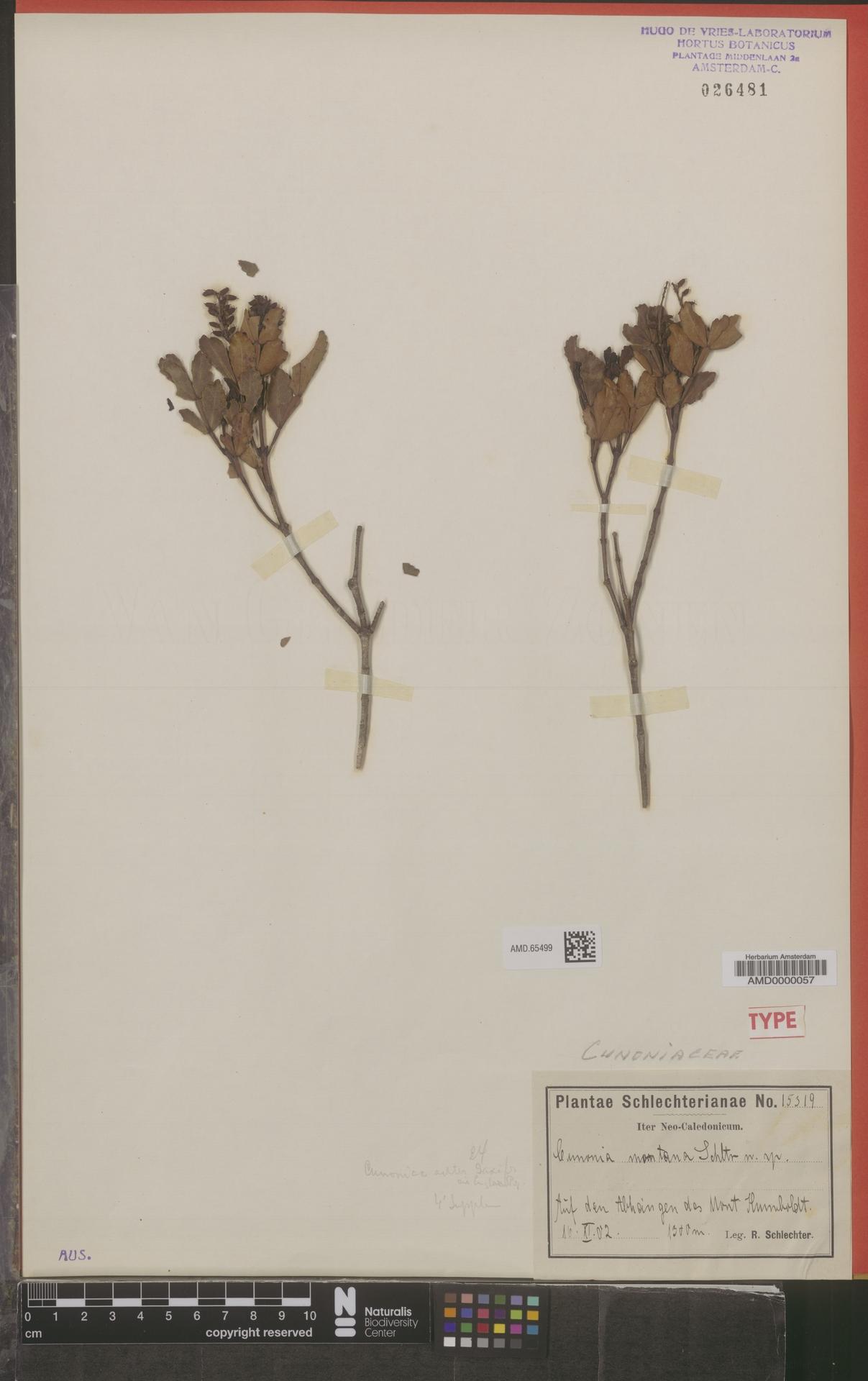 AMD.65499 | Cunonia montana Schltr.