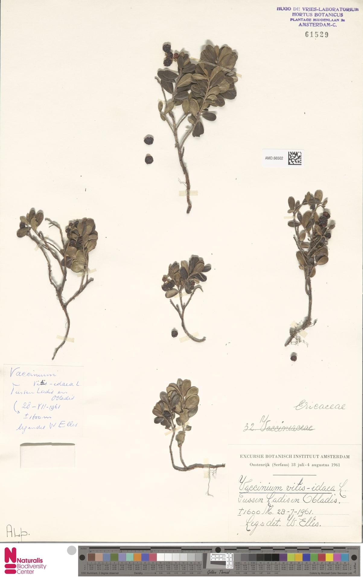 AMD.66502 | Vaccinium vitis-idaea L.