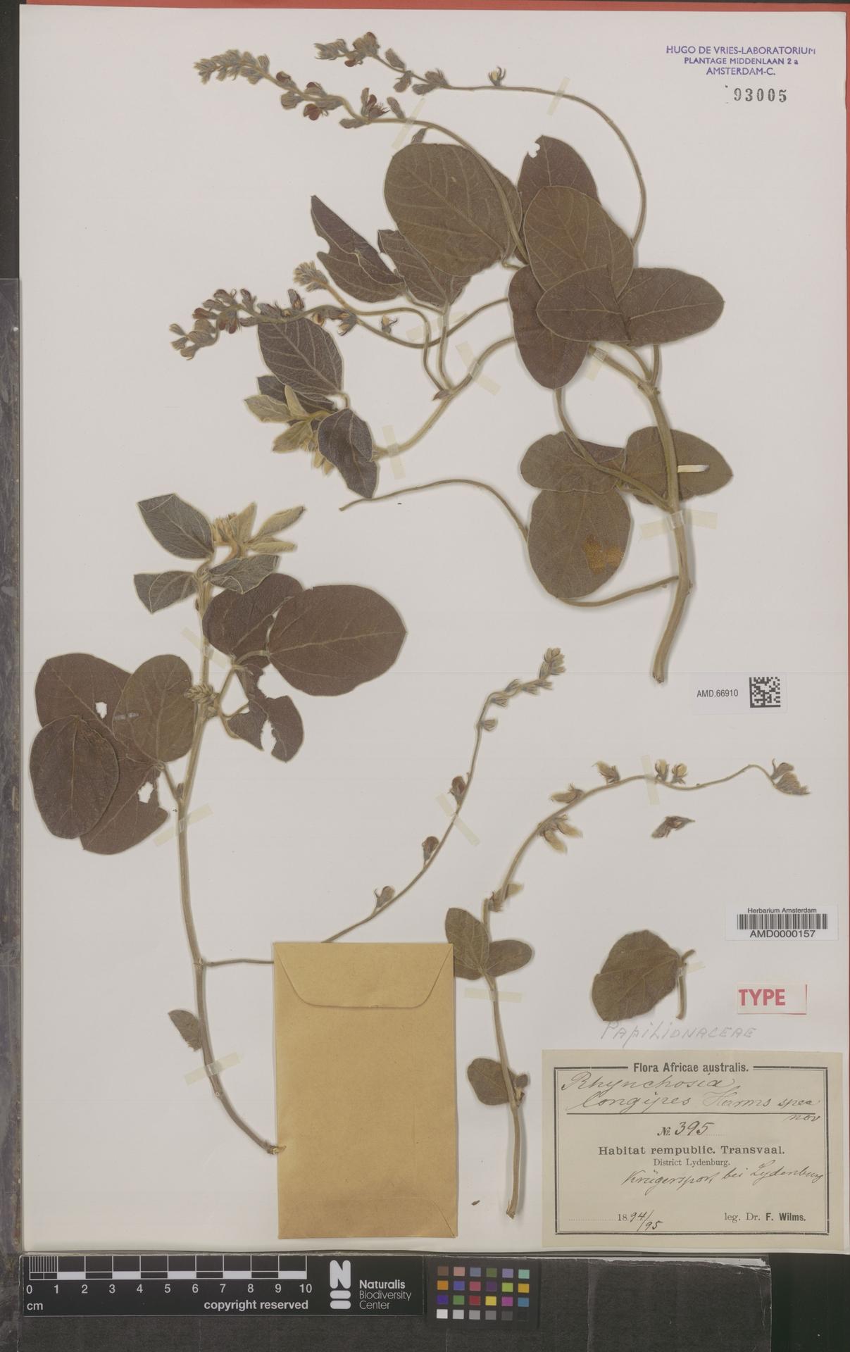 AMD.66910 | Rhynchosia longipes Harms