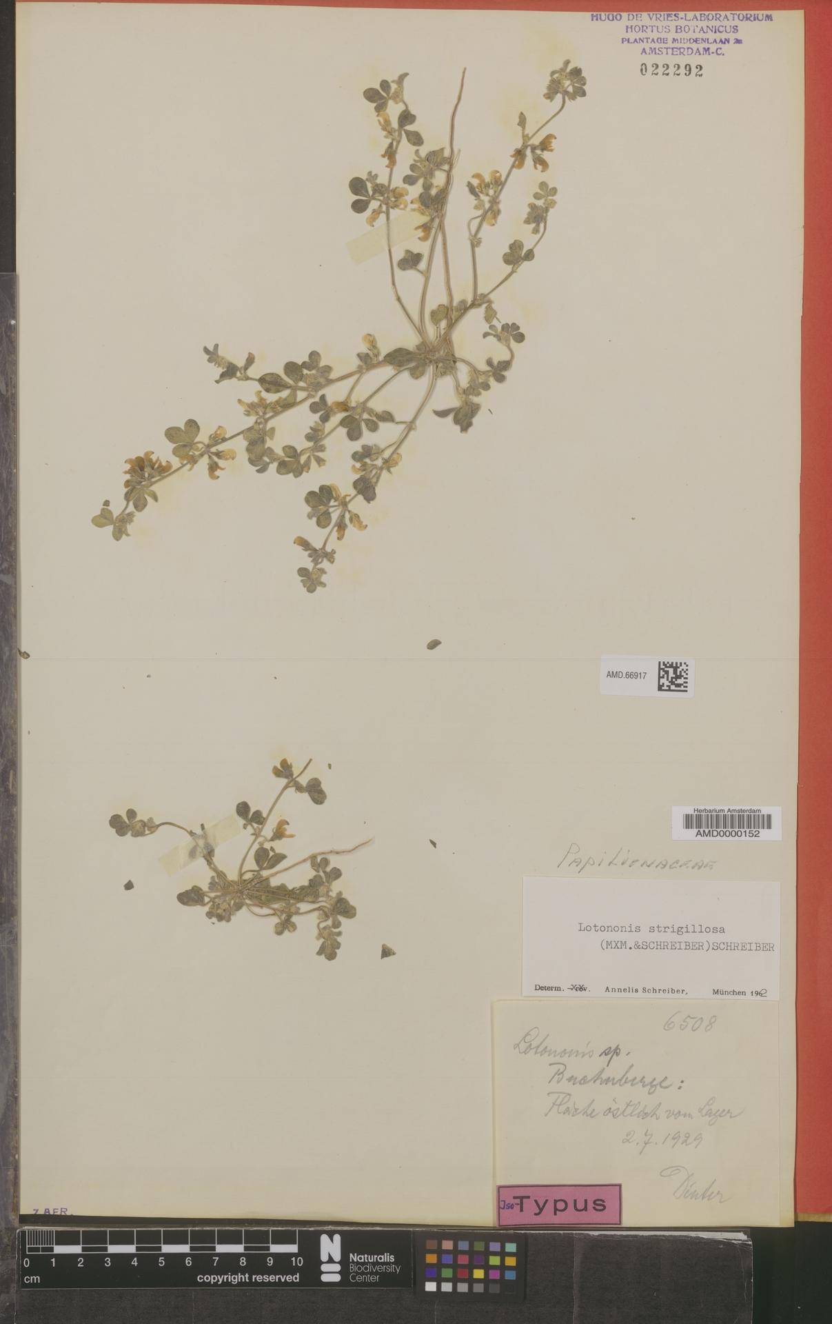 AMD.66917 | Lotononis strigillosa (Merxm. & A.Schreib.) A.Schreib.