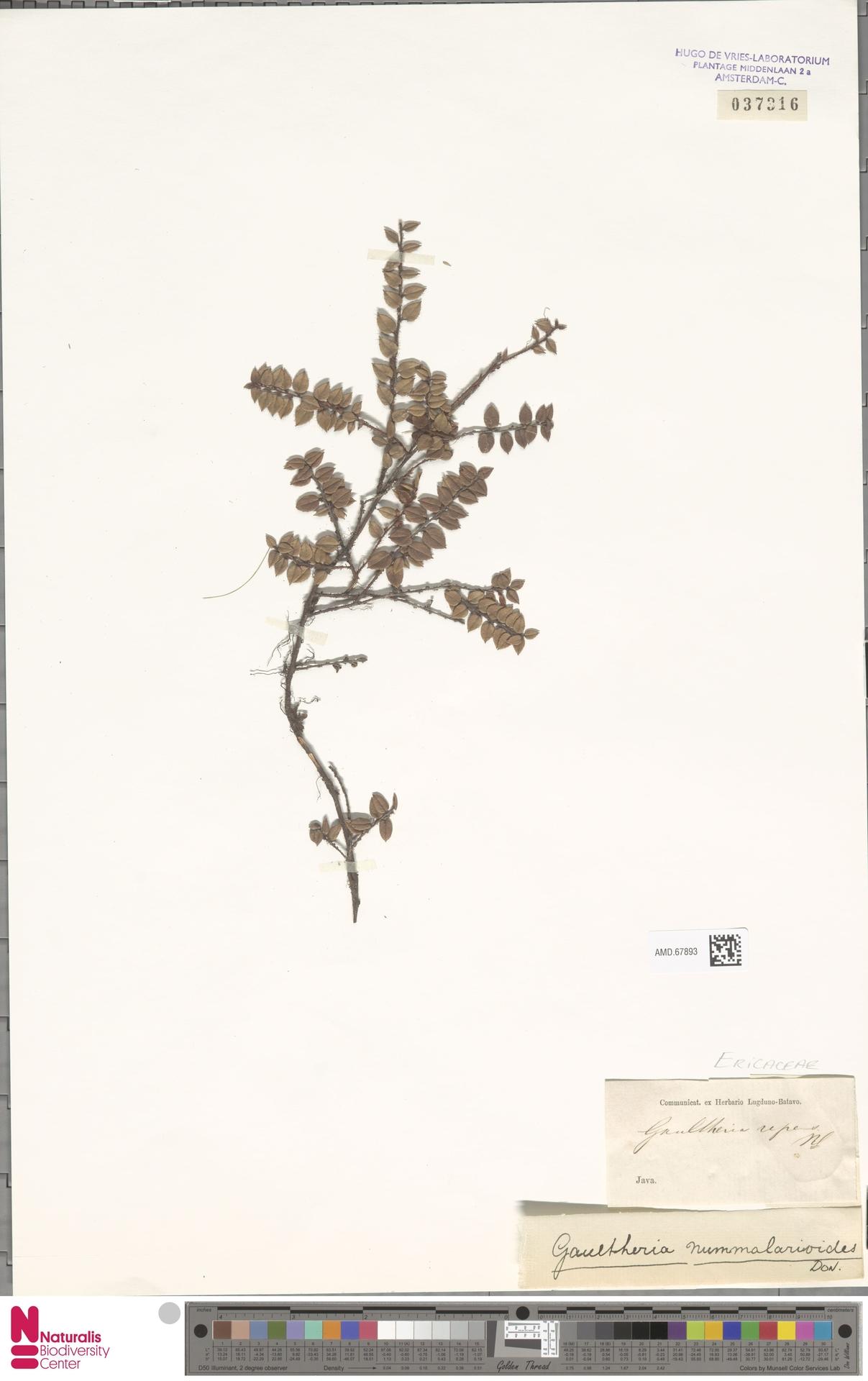 AMD.67893 | Gaultheria nummularioides G.Don