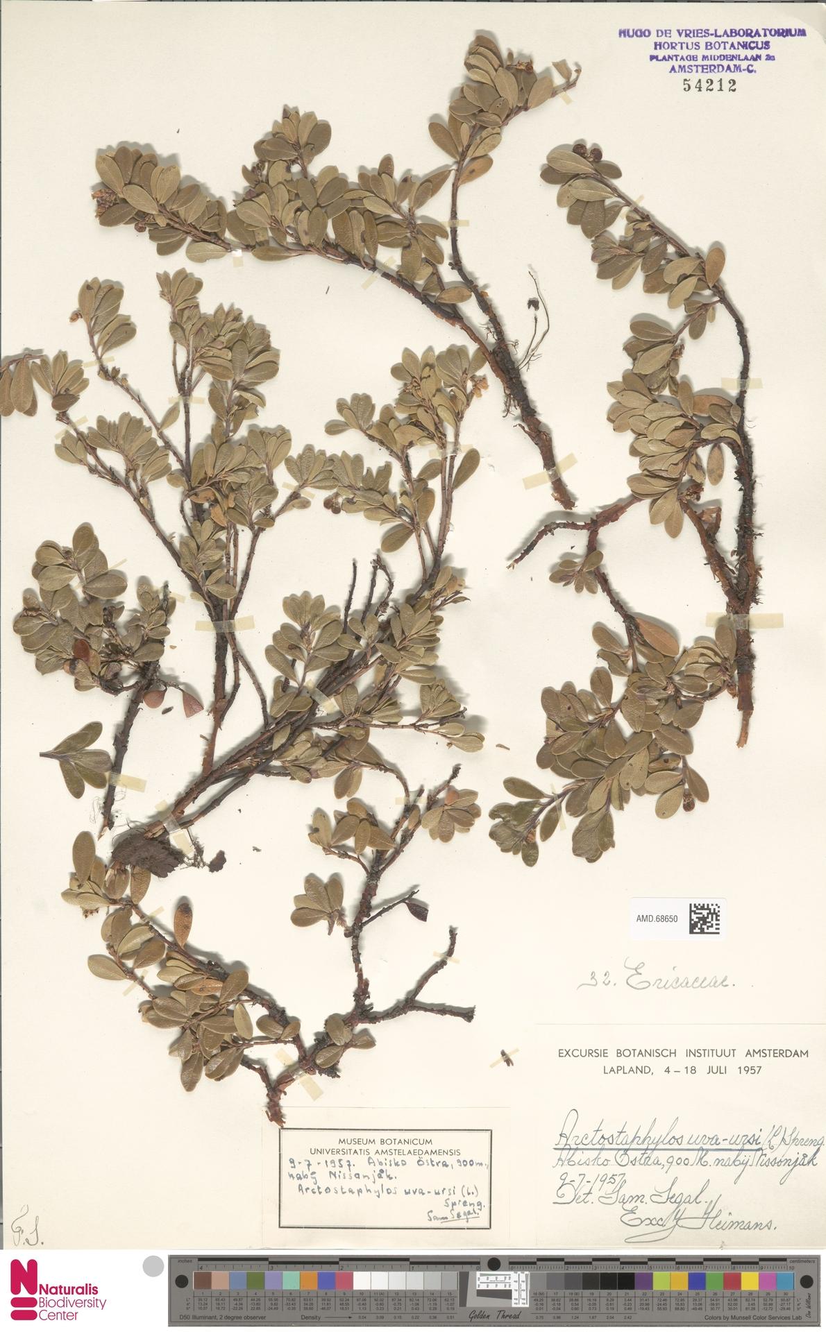 AMD.68650 | Arctostaphylos uva-ursi (L.) Spreng.